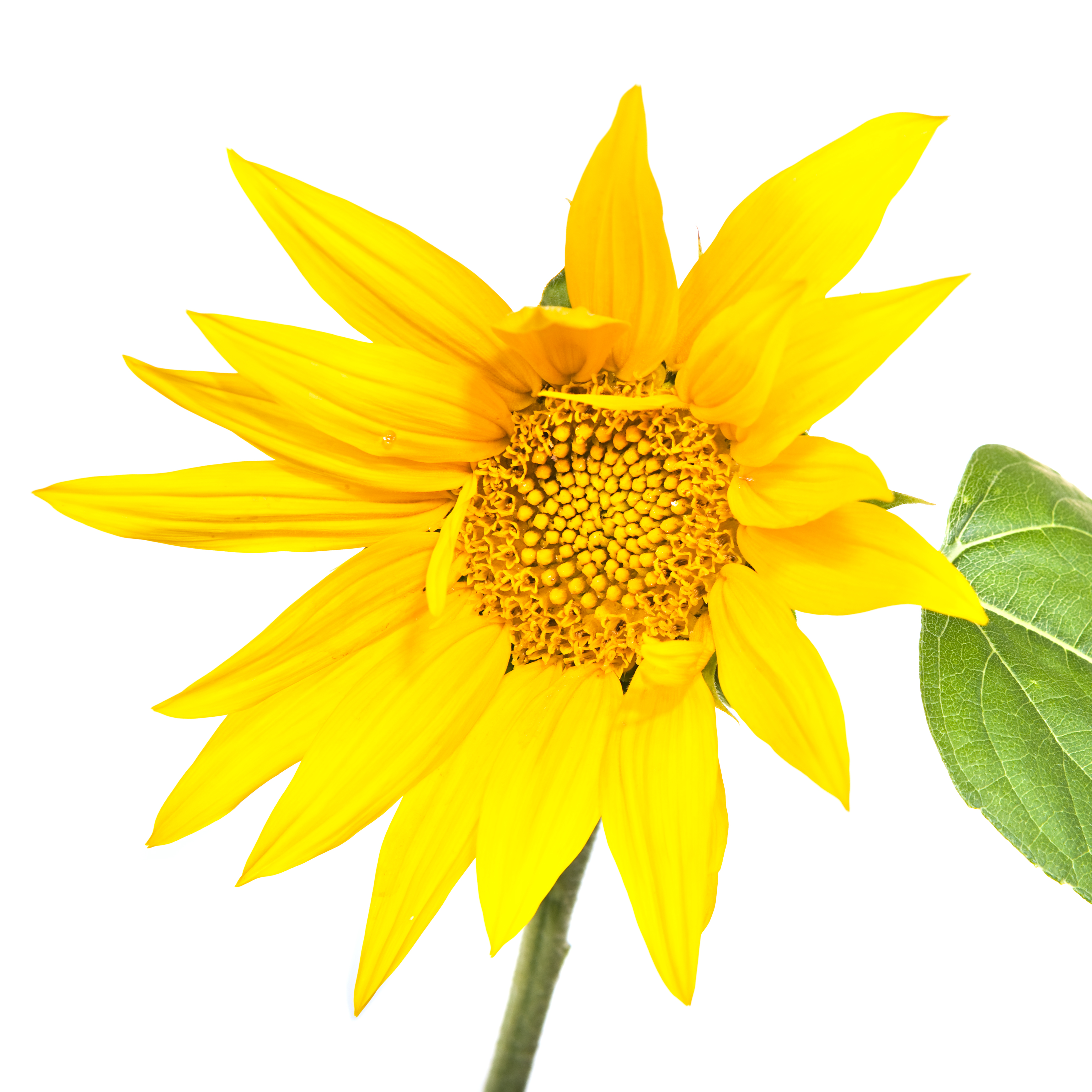 Sunflower isolated on white, Agriculture, Plant, Macro, Natural, HQ Photo