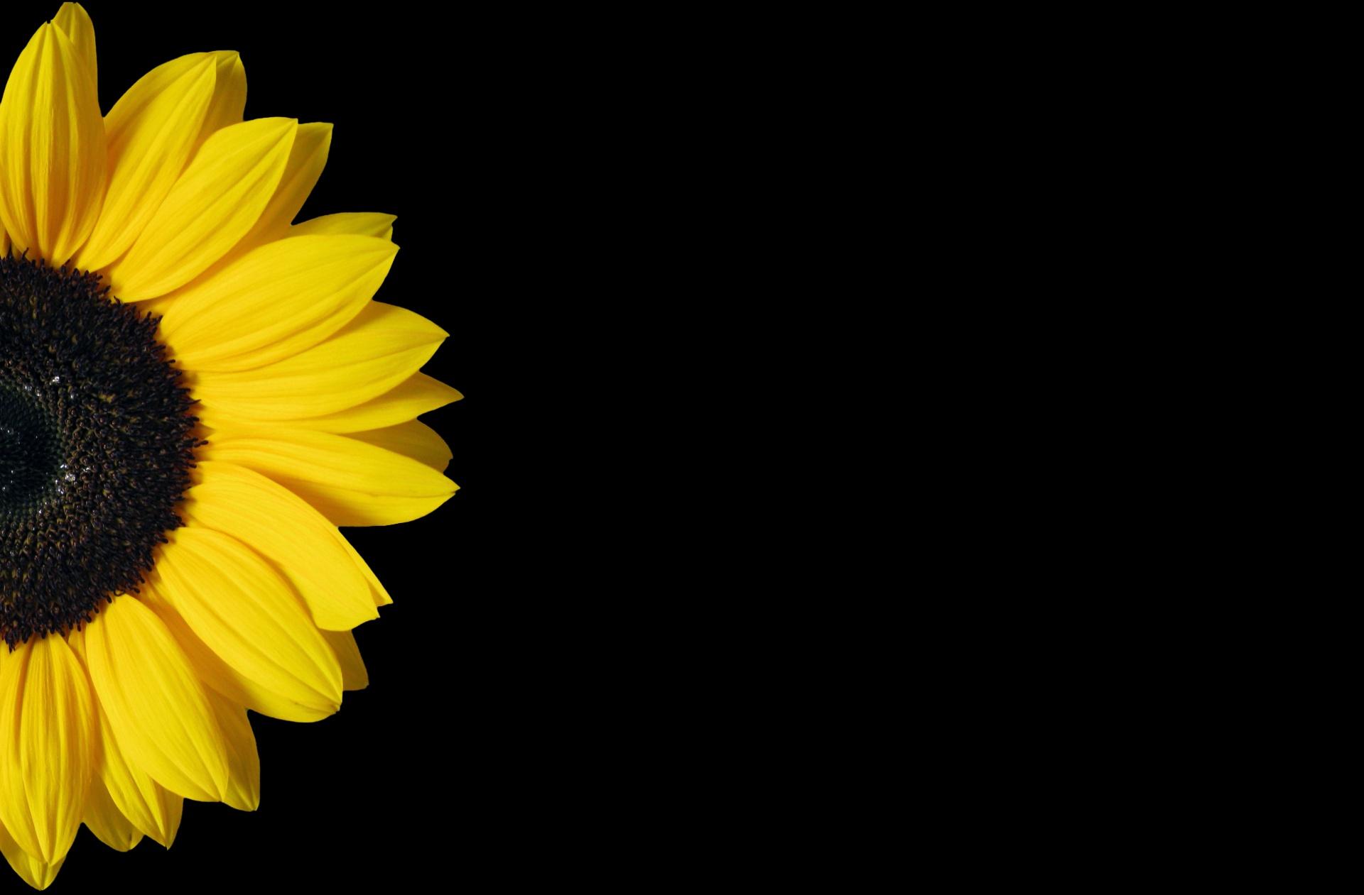 Sunflower on black photo