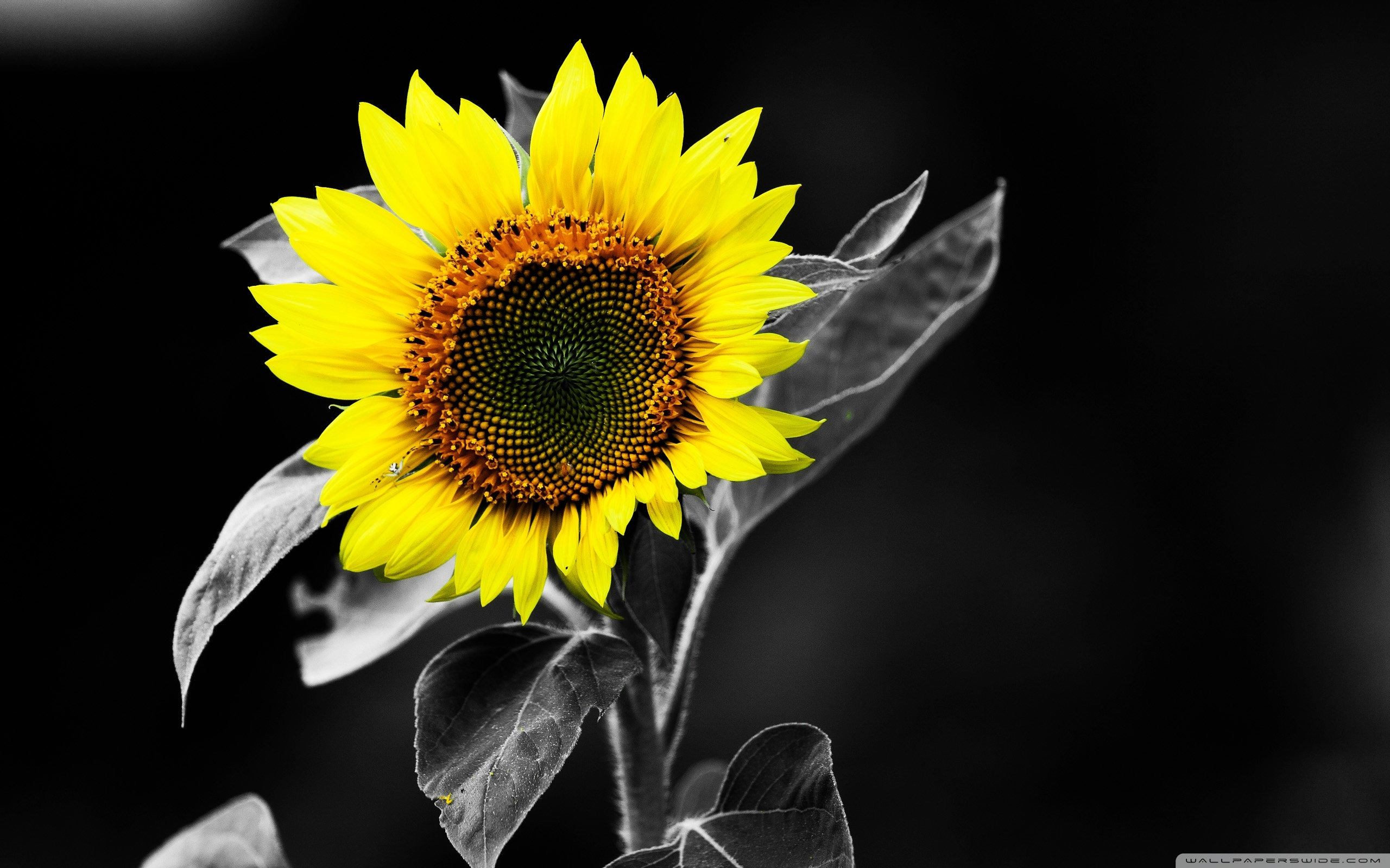 Sunflower on black photo
