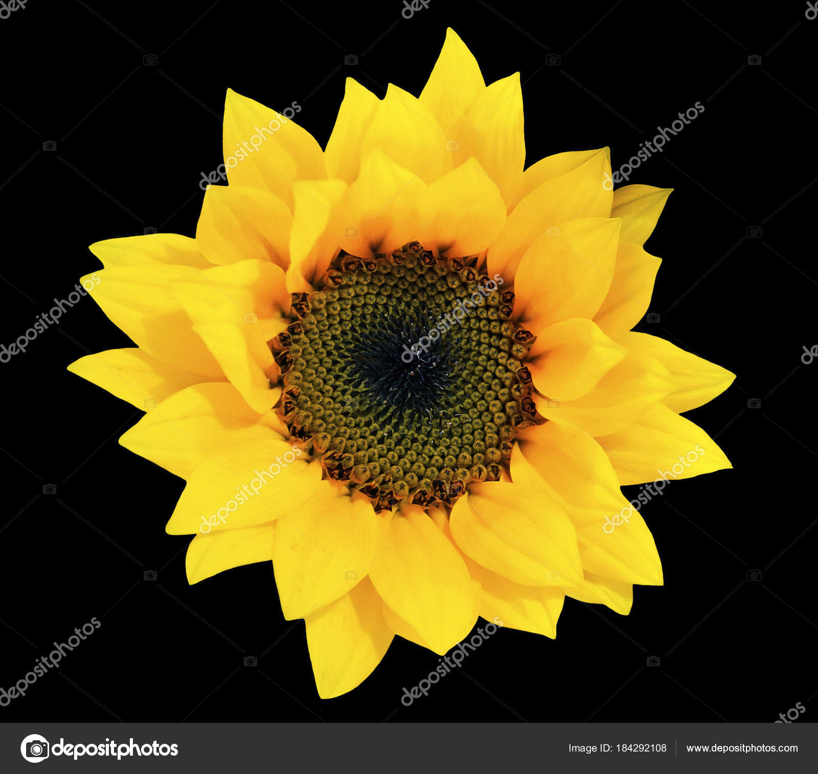 Cutout Flower Isolated Yellow Sunflower Black Background — Stock ...