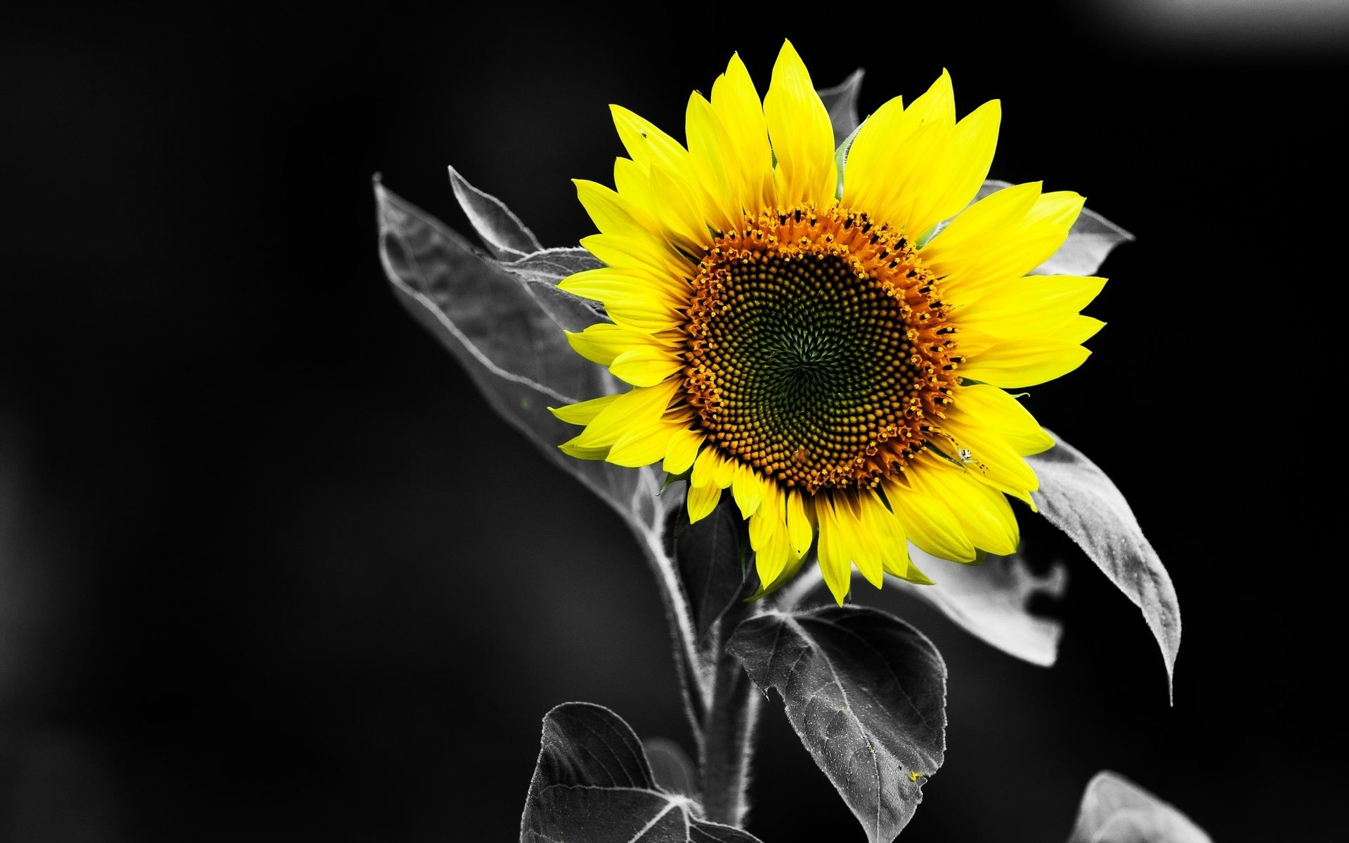 Sunflower Black and White Yellow Color HD Wallpaper wallpaper ...