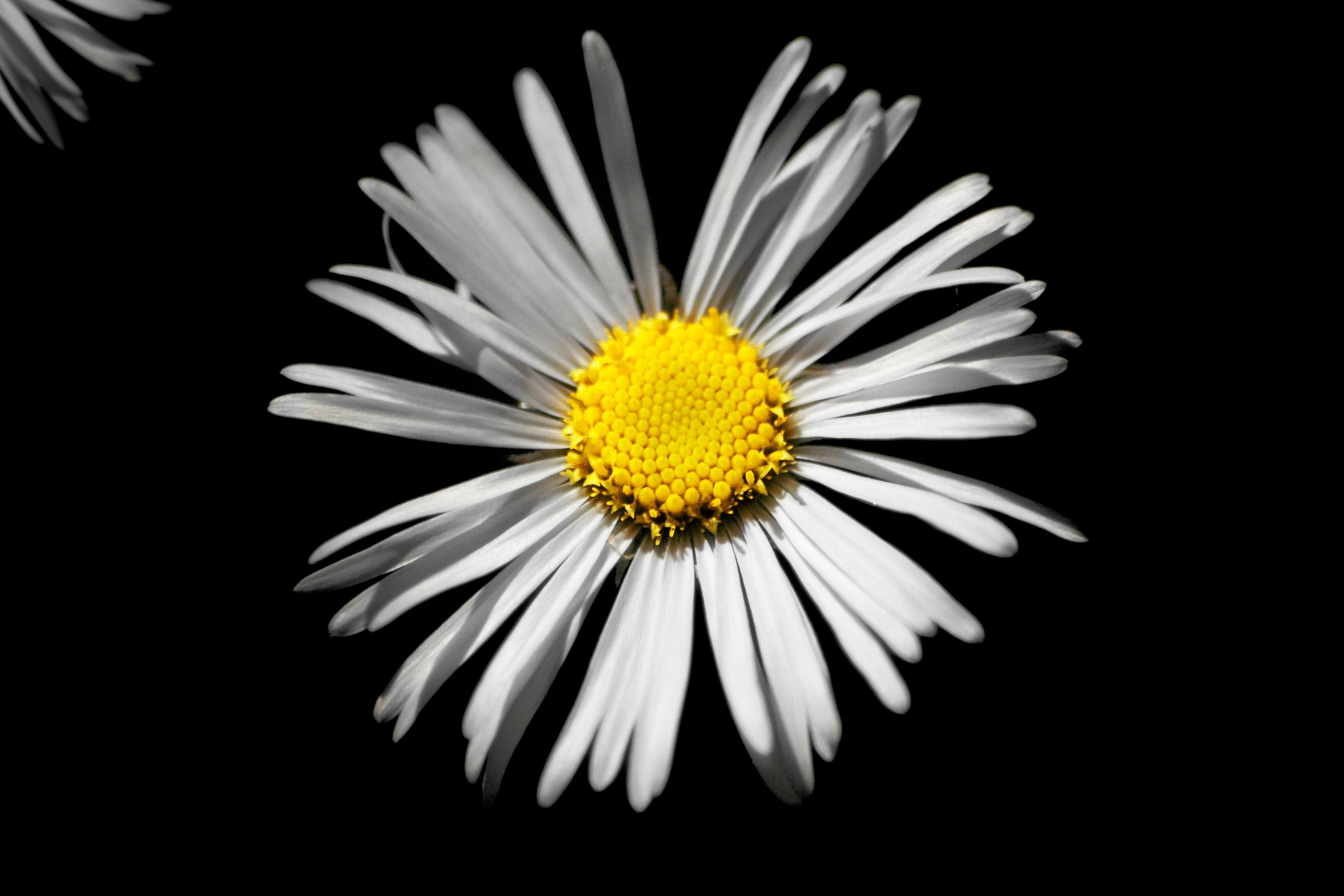 Sunflower on Black, Black, Closeup, Flower, Isolated, HQ Photo