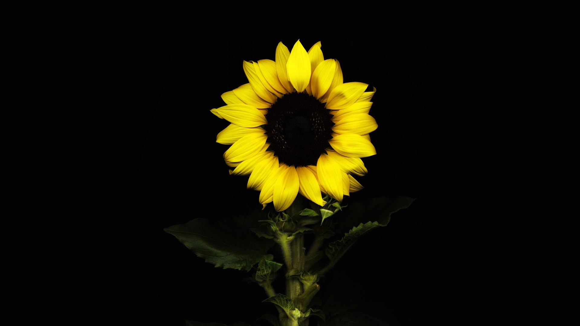 Download wallpaper 1920x1080 sunflower, black background, with ...