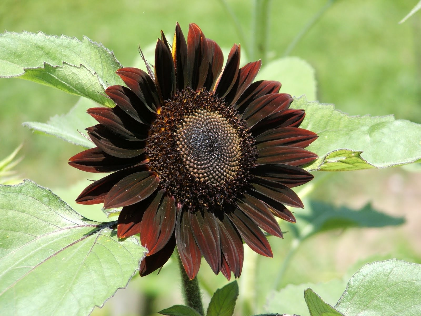 God's Growing Garden: Sunflowers - Black Velvet Queen