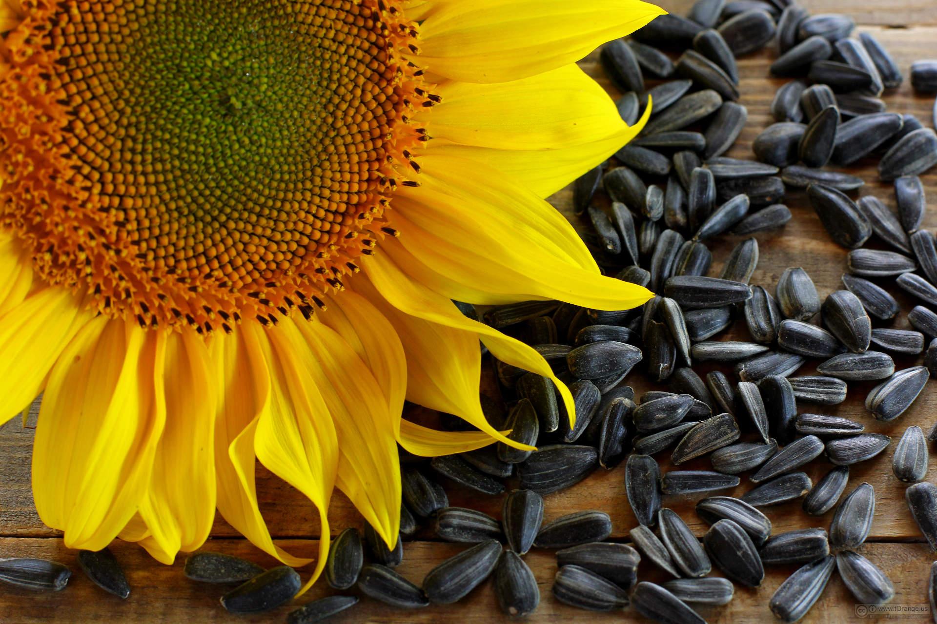 Sunflower seeds photo