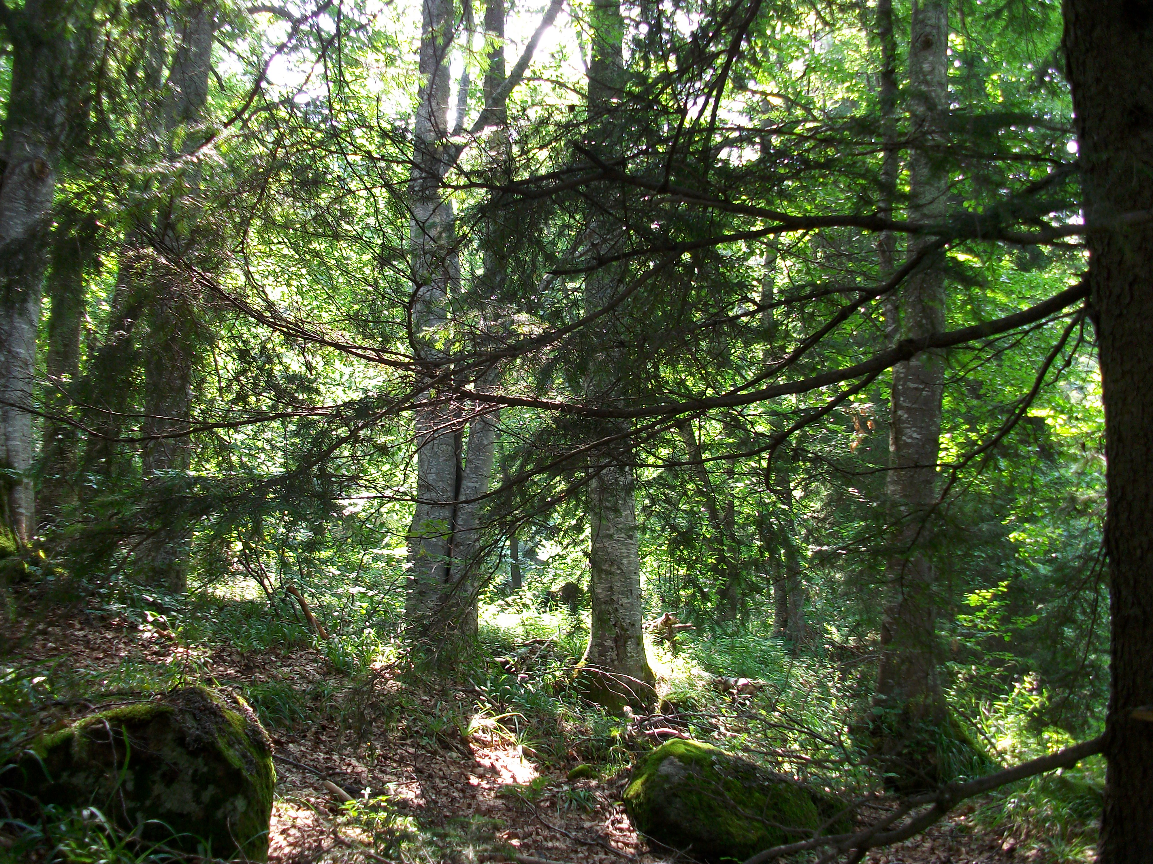 Sunlight Forest, Vitosha, Woods, Trees, Park, HQ Photo