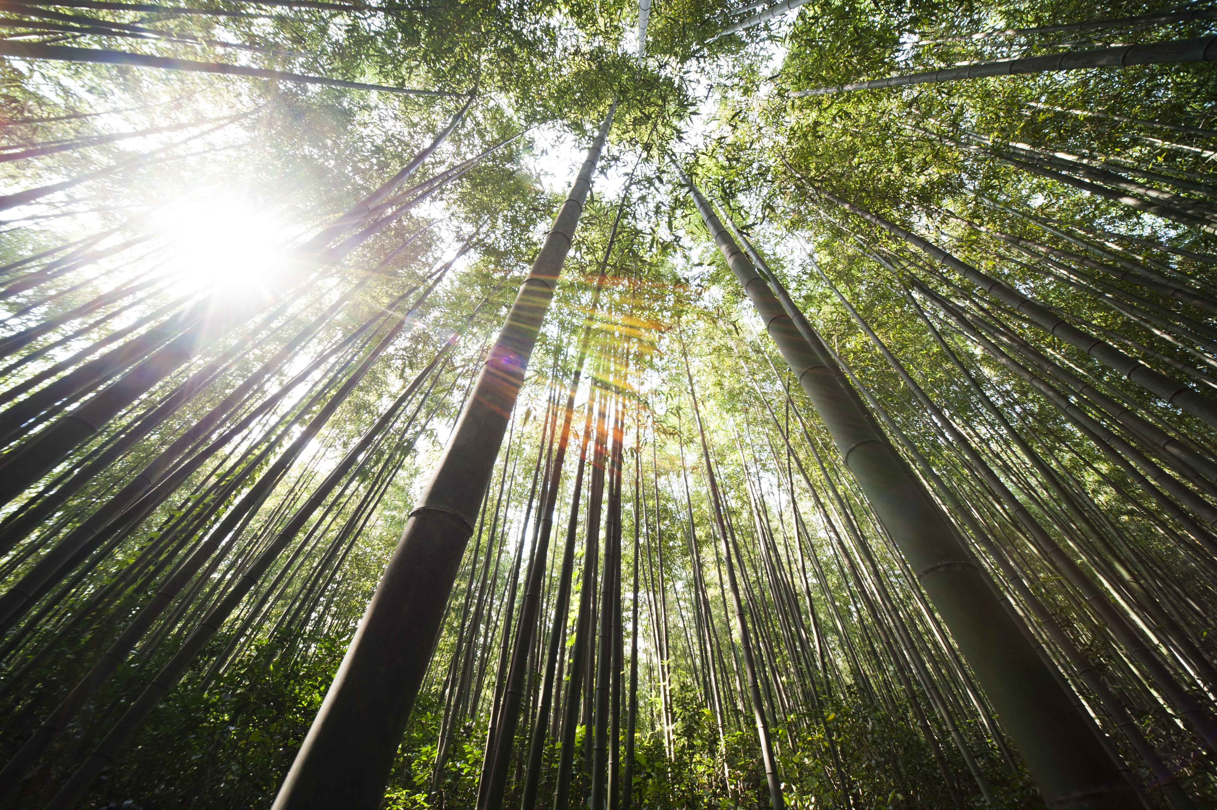 Sunlight over brown bamboo trees photo