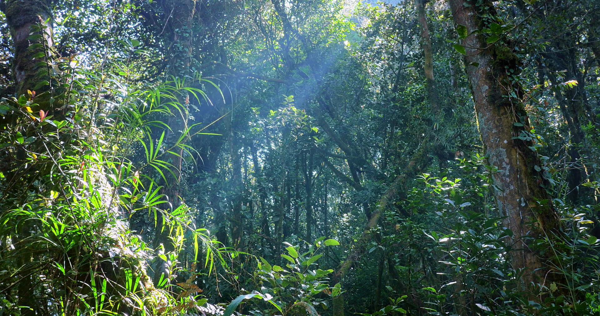 Rays and beams of sun light shine through jungle forest canopy at ...