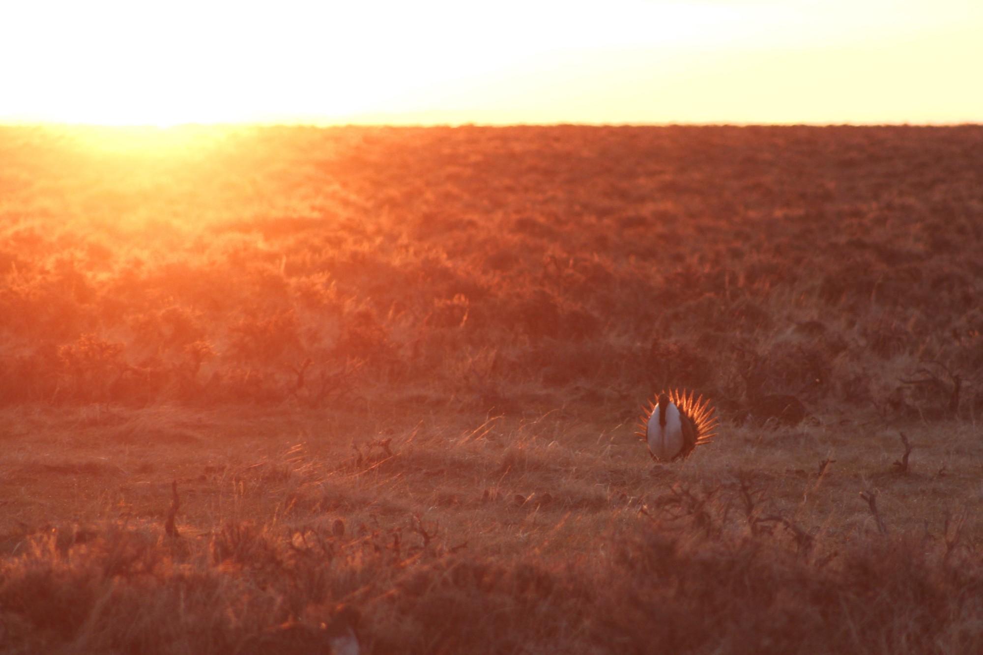 Sunrise and Sage-Grouse on Sacred Ground – Fish and Wildlife Service ...