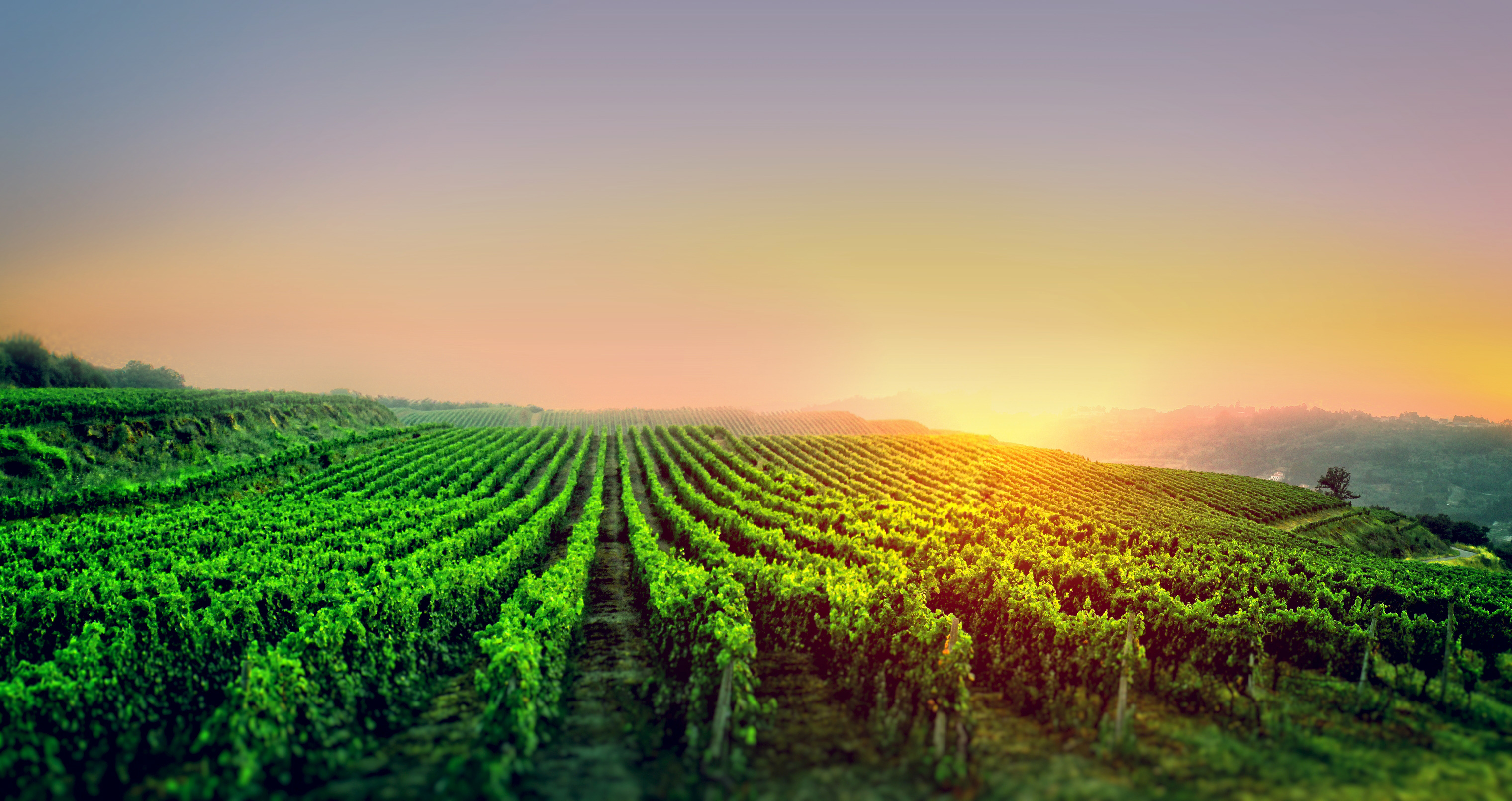 Sunrise over the vineyard photo