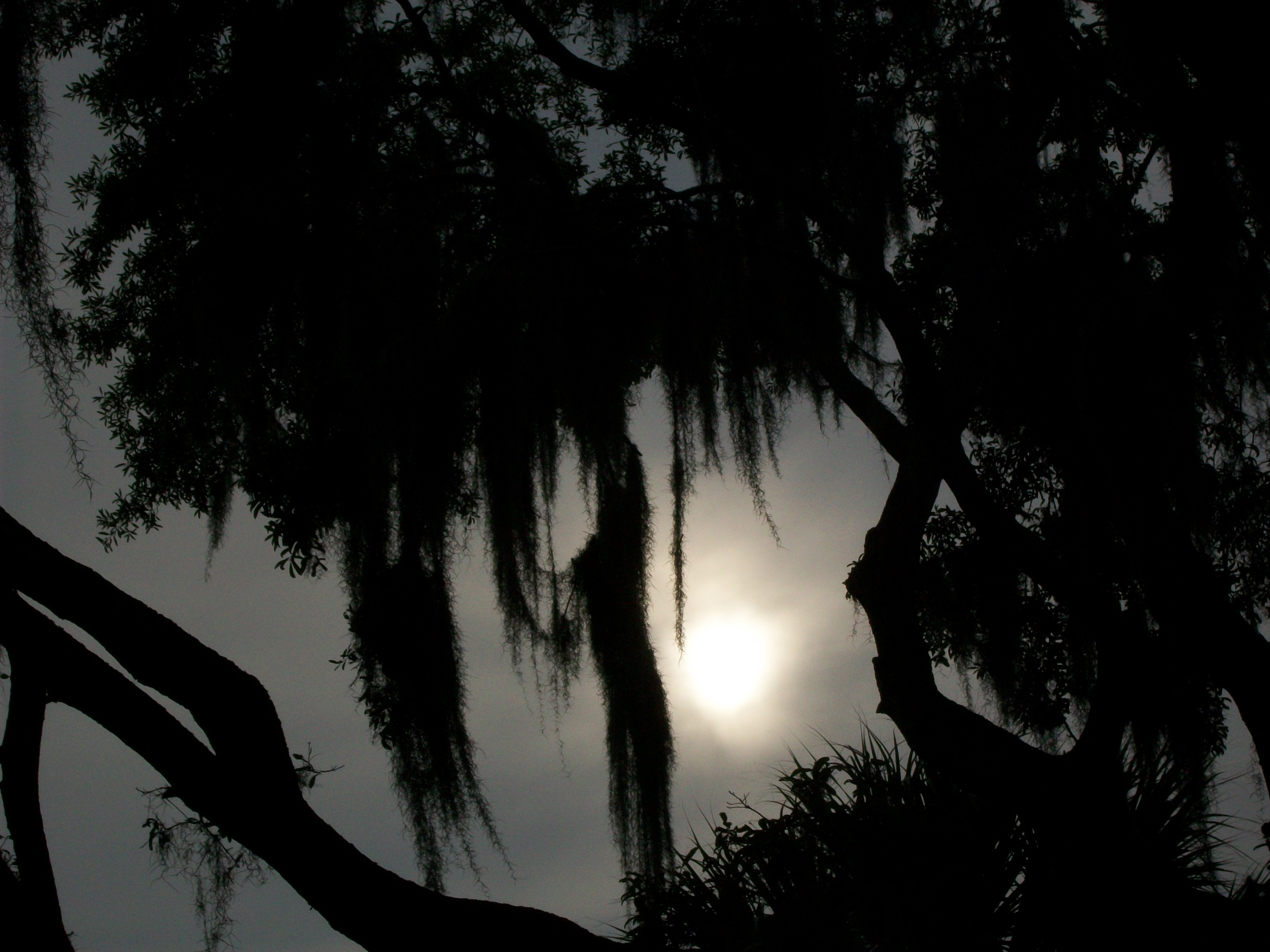 Sunset behind a cypress tree photo