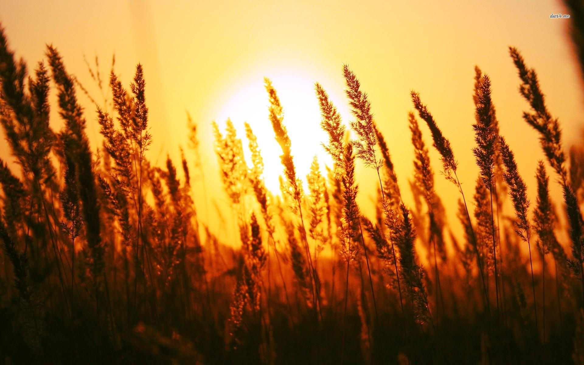 Sunset through grass photo