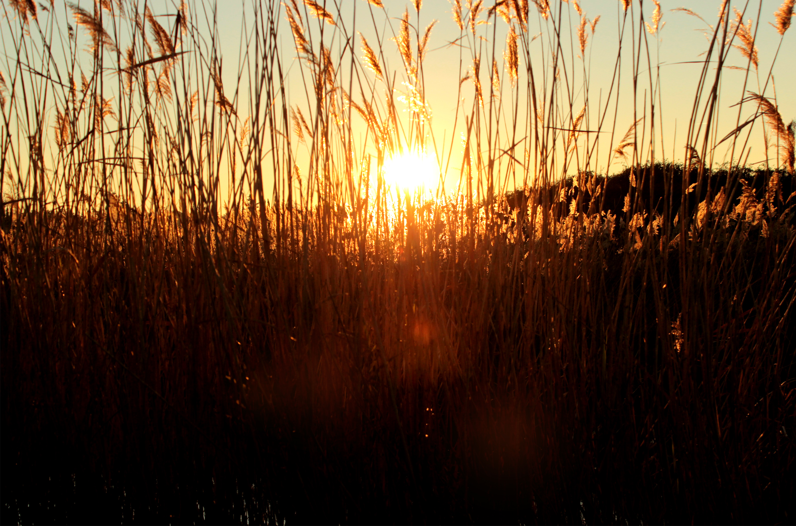 Sunset through grass, Agriculture, Summer, Outdoor, Plant, HQ Photo