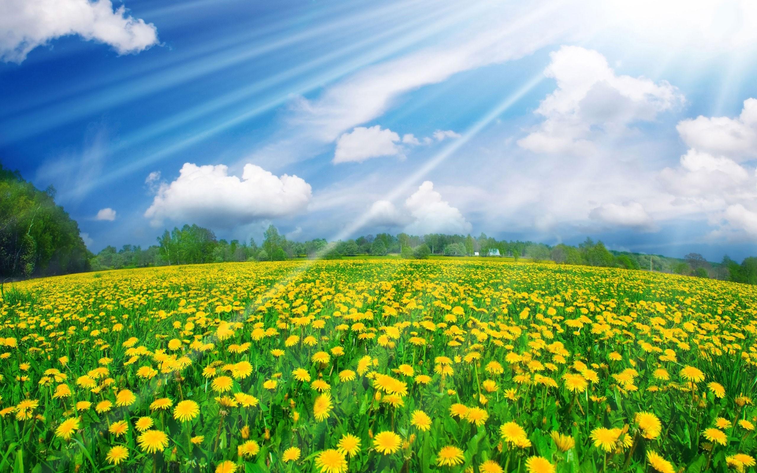 Field: Sunshine Dandelion Fields Field Flowers Wallpapers for HD 16 ...