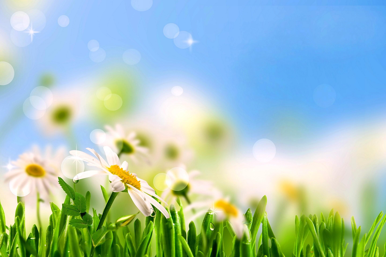 Flowers: Daisy Flowers Krasivye Romashki Meadow Sunshine Field ...