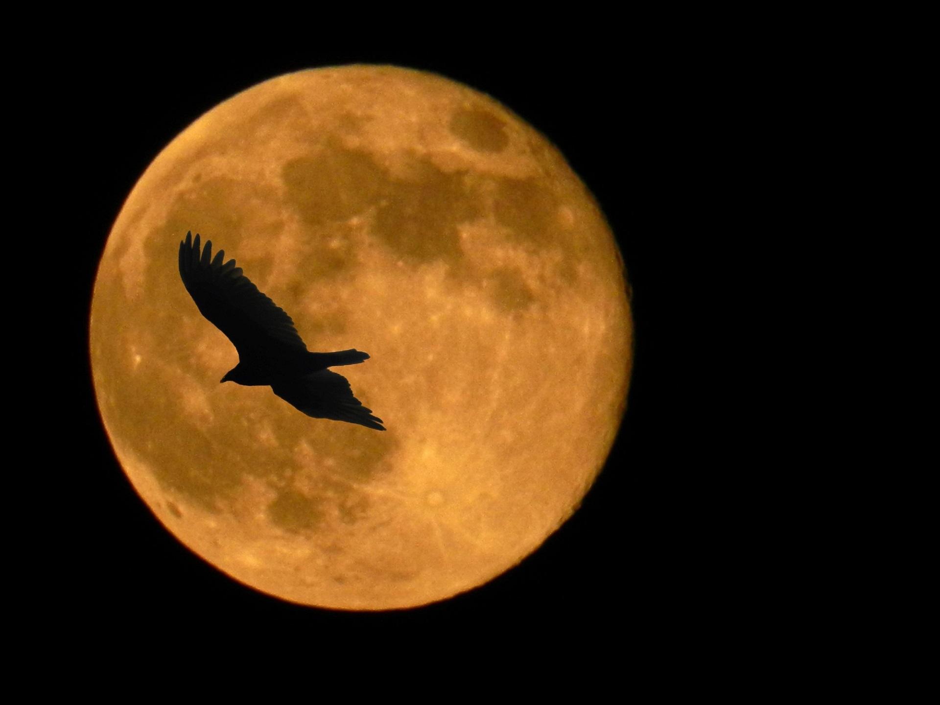Super Moon, Nature, Super, Moon, Hawk, HQ Photo
