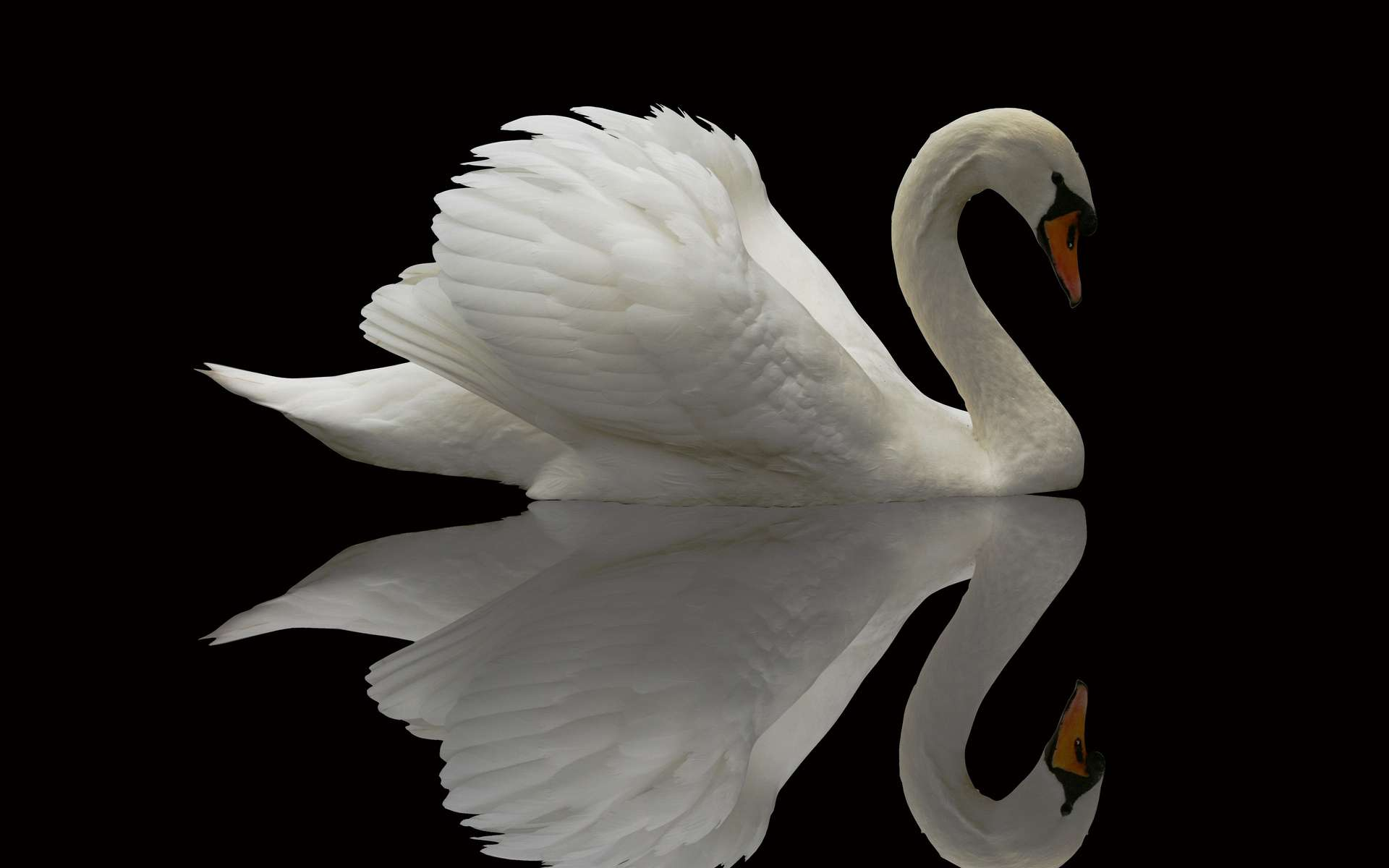 Swan HD Wallpaper, Background Images