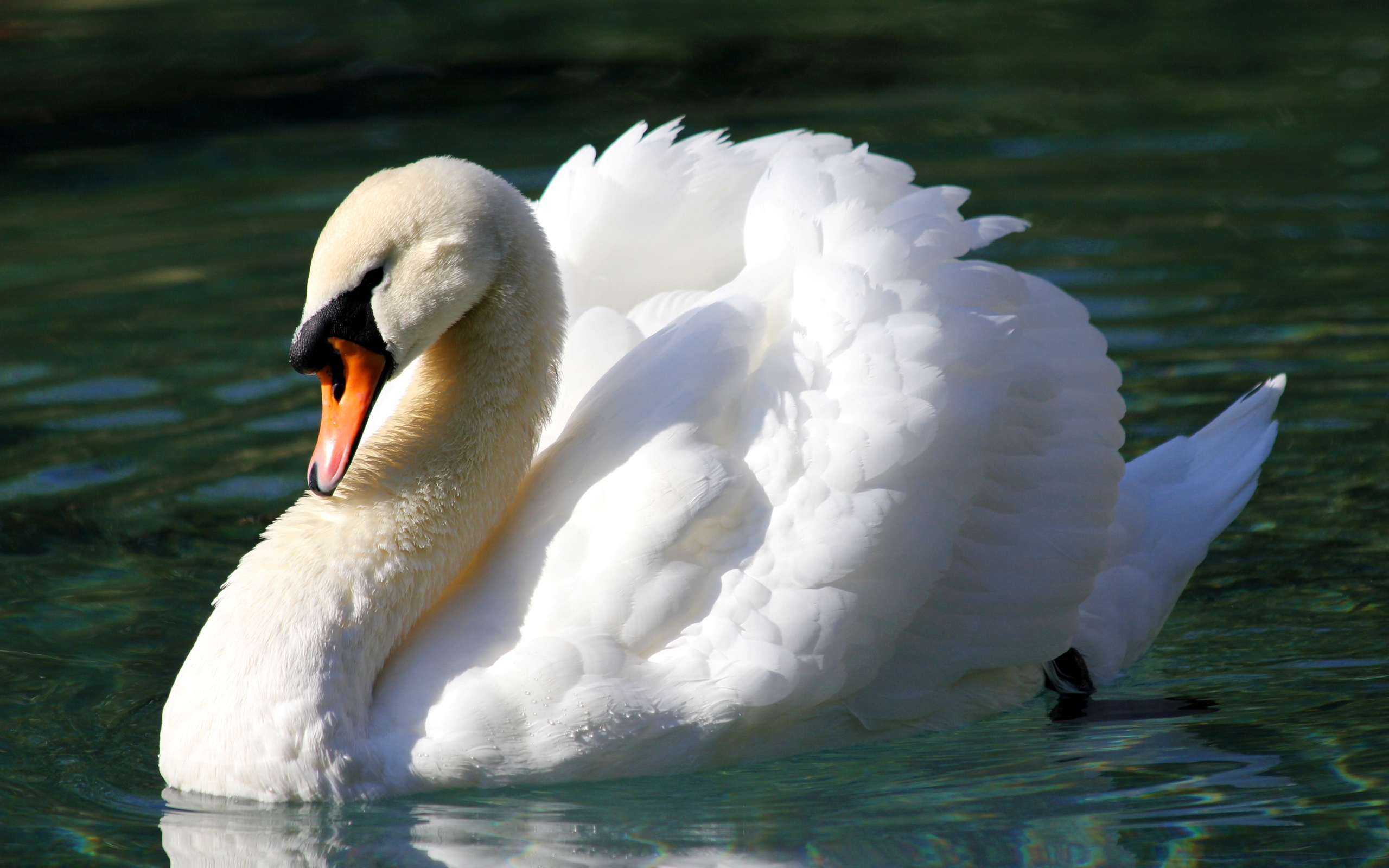 Mute swan Wallpapers 19 - 2560 X 1600 | stmed.net