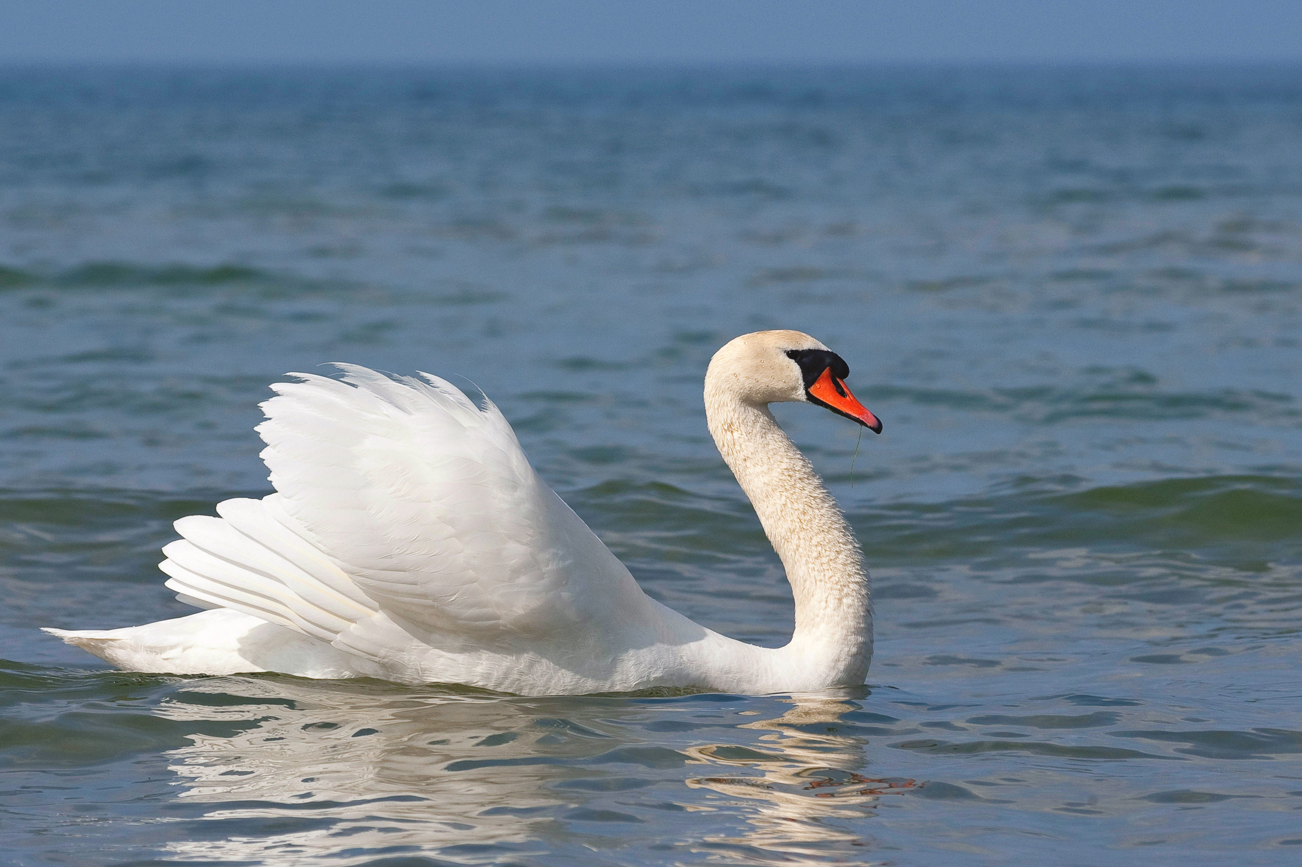 Swans Found to Windsurf Across Water