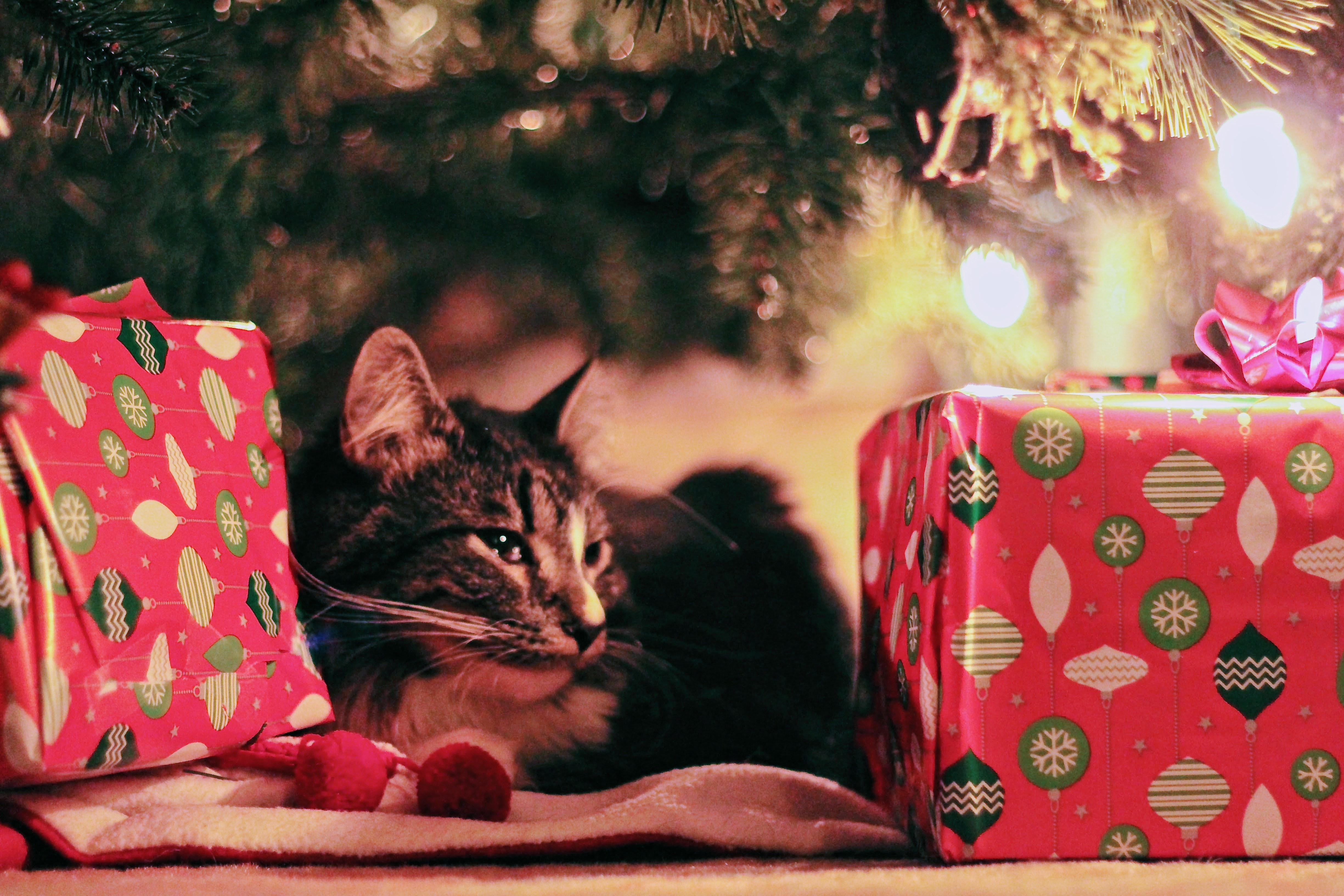 free photo tabby cat lying under christmas tree with gifts