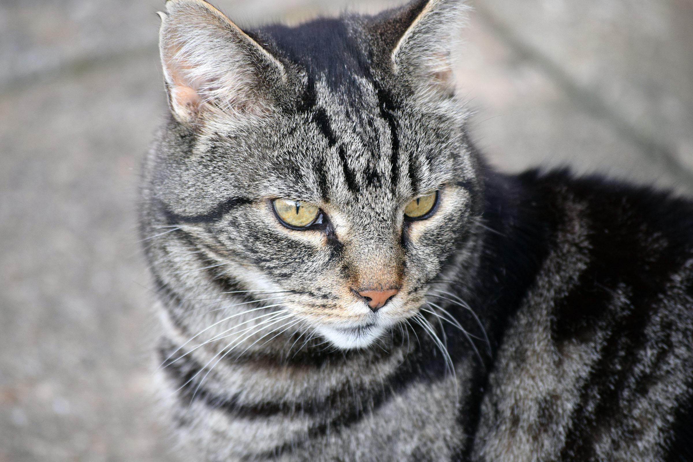 Tabby cat, Cat, Curious, Feline, Furry, HQ Photo