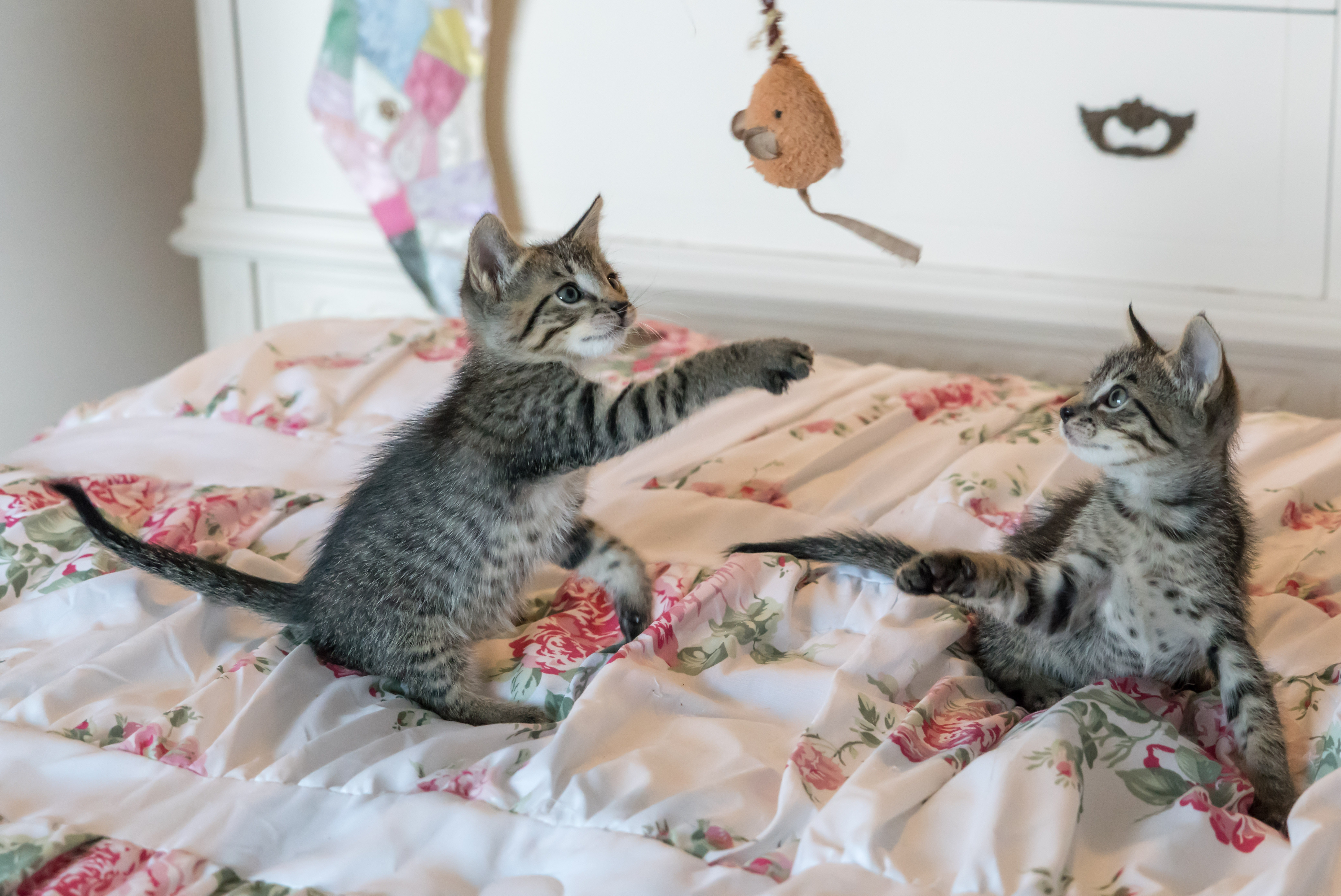 Tabby kittens on floral comforter photo
