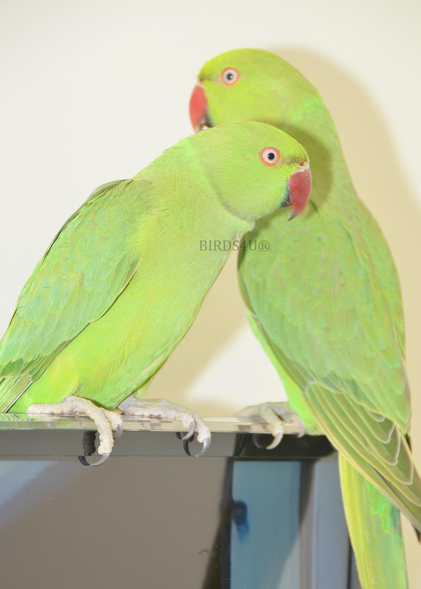 Talking parrot photo