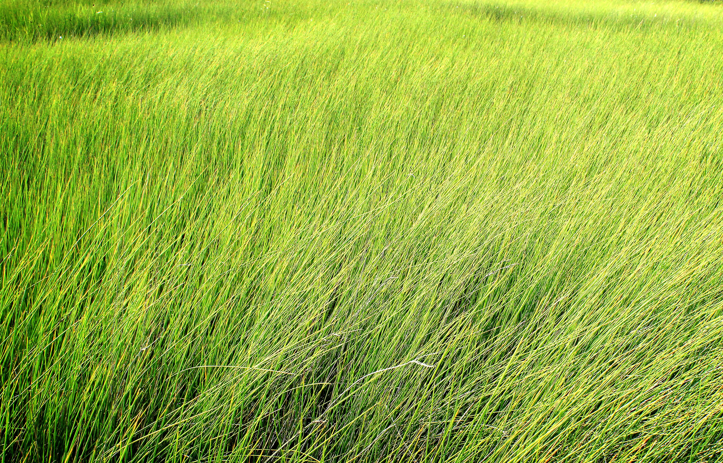 Tall grass - Texture, Abstract, Area, Summer, Spring, HQ Photo