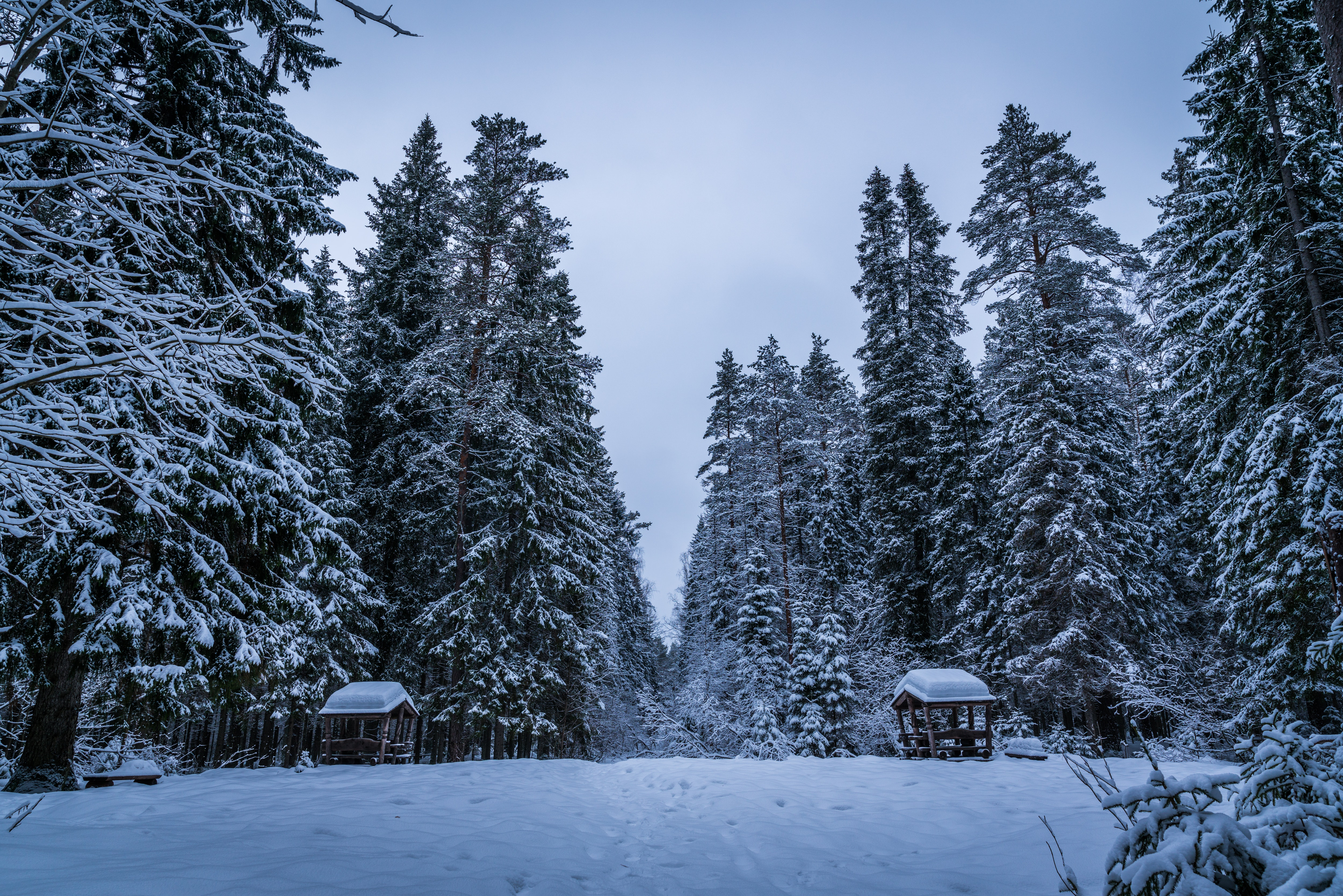 Tall green trees filled with snows during winter photo