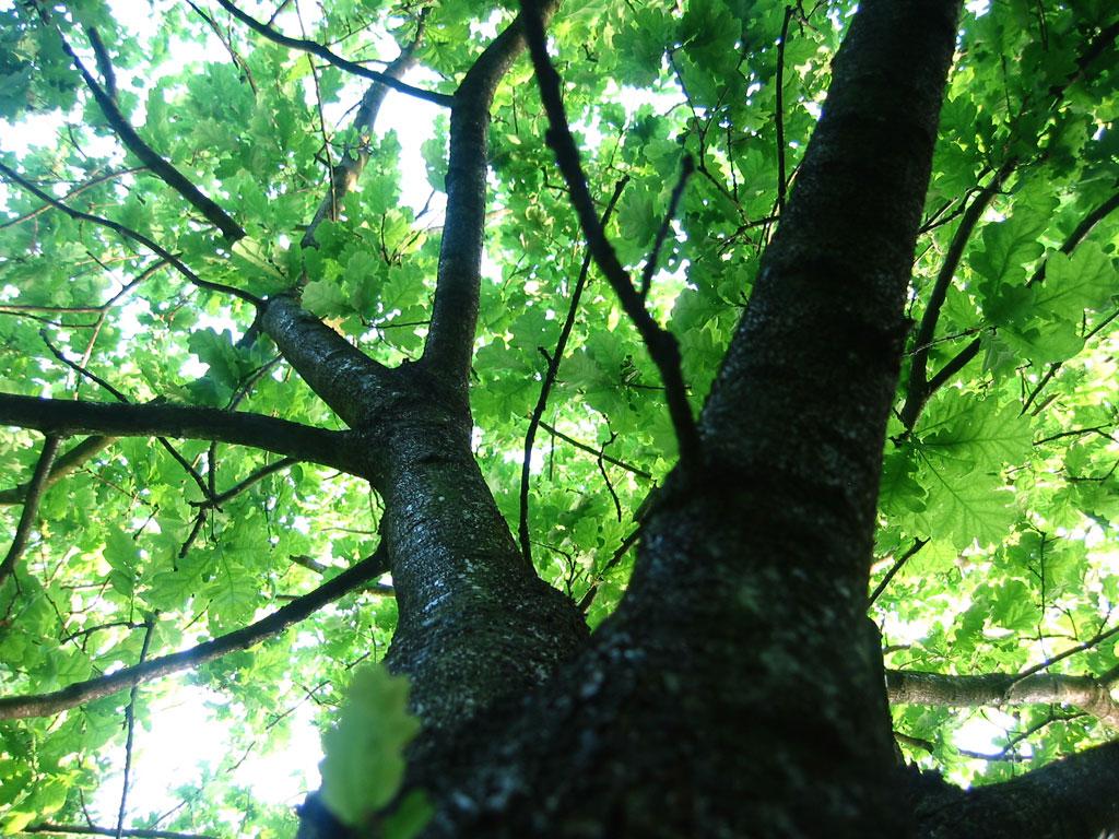 Tall tree, sky, tree, tall, leafs, HQ Photo
