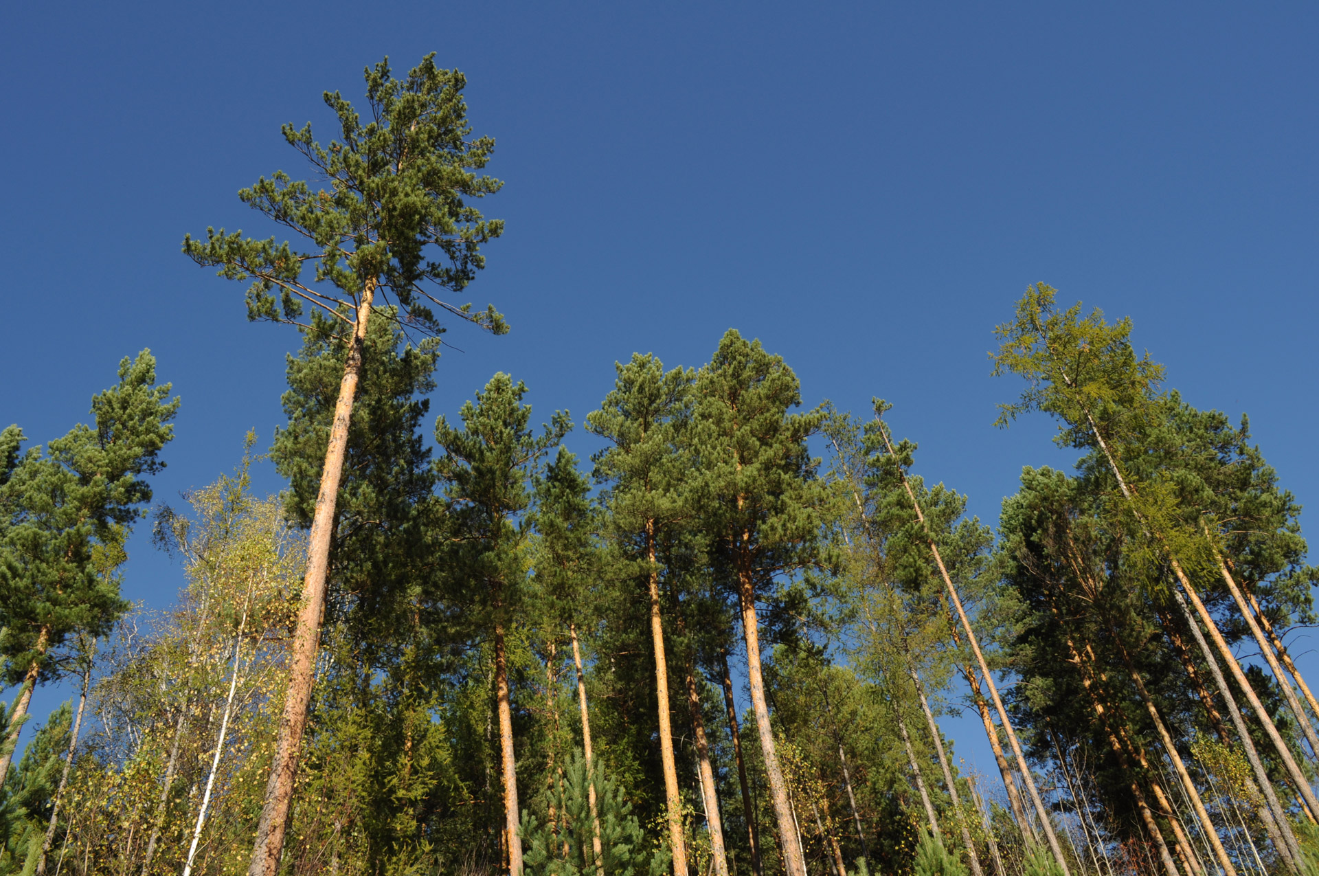 Tall Trees Free Stock Photo - Public Domain Pictures
