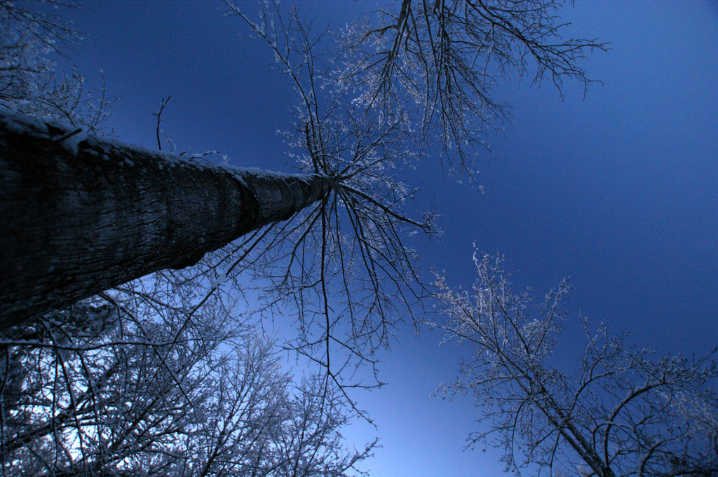 Tall trees looking up to the morning sky photo