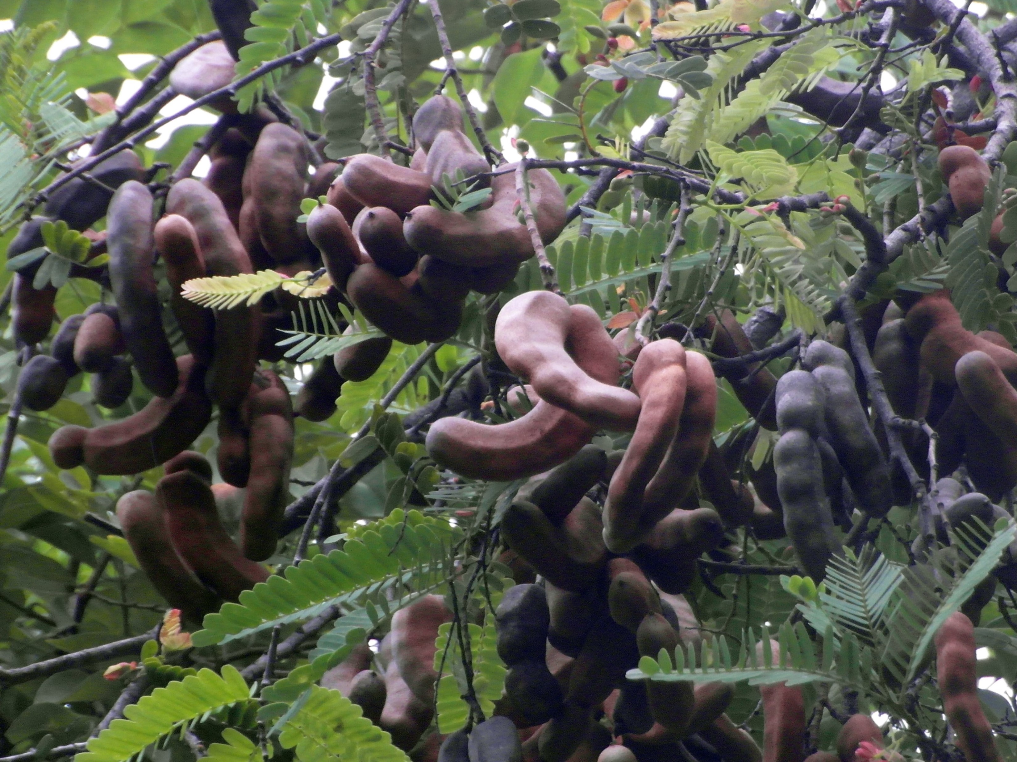 Tamarind fruit tree photo