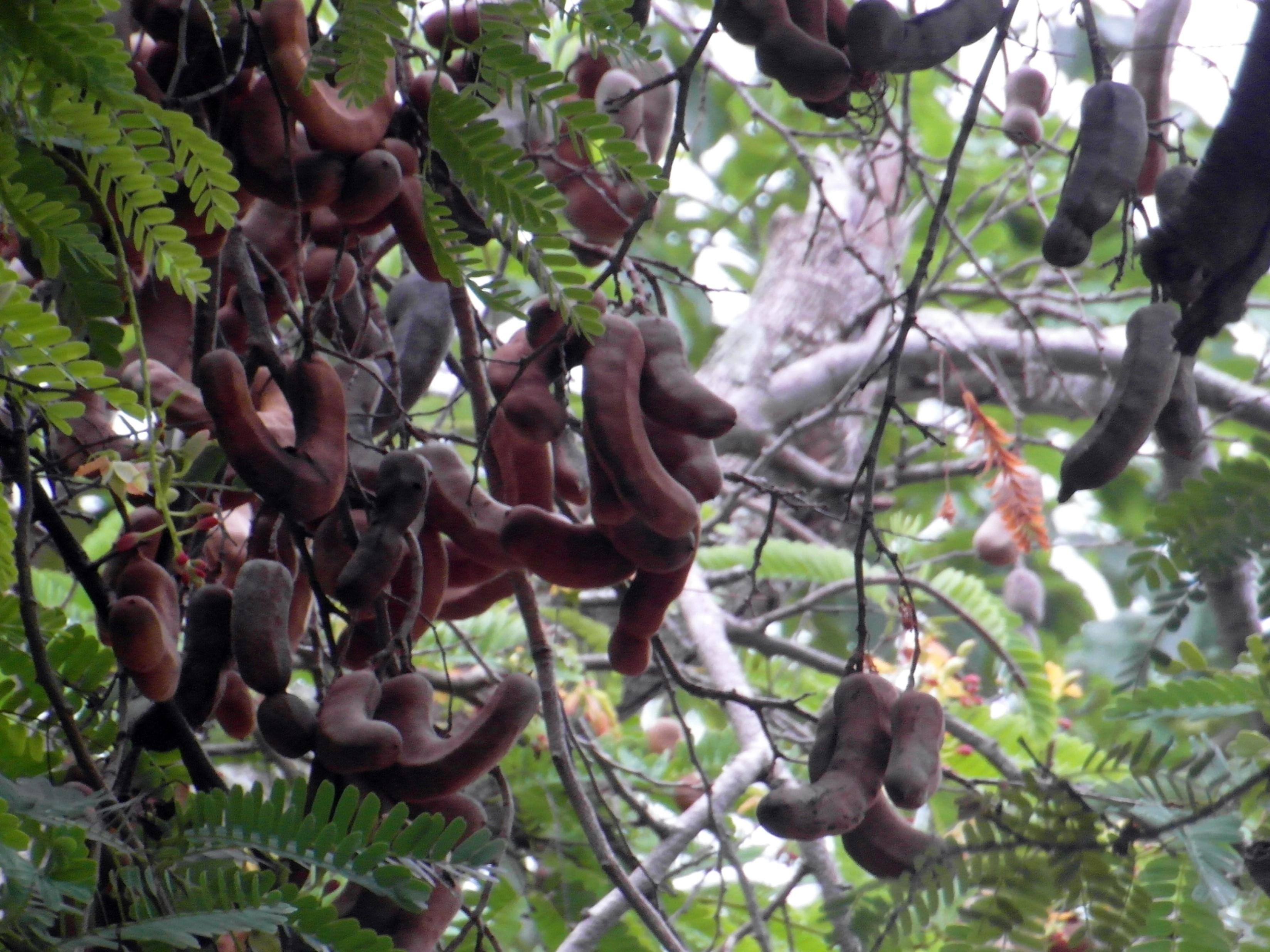 Tamarind Fruit Tree, seed, seeds, ripe, raw, HQ Photo