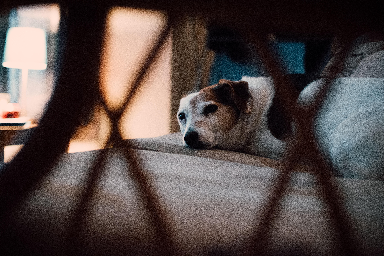 Tan and white short-coated dog lying on floor photo