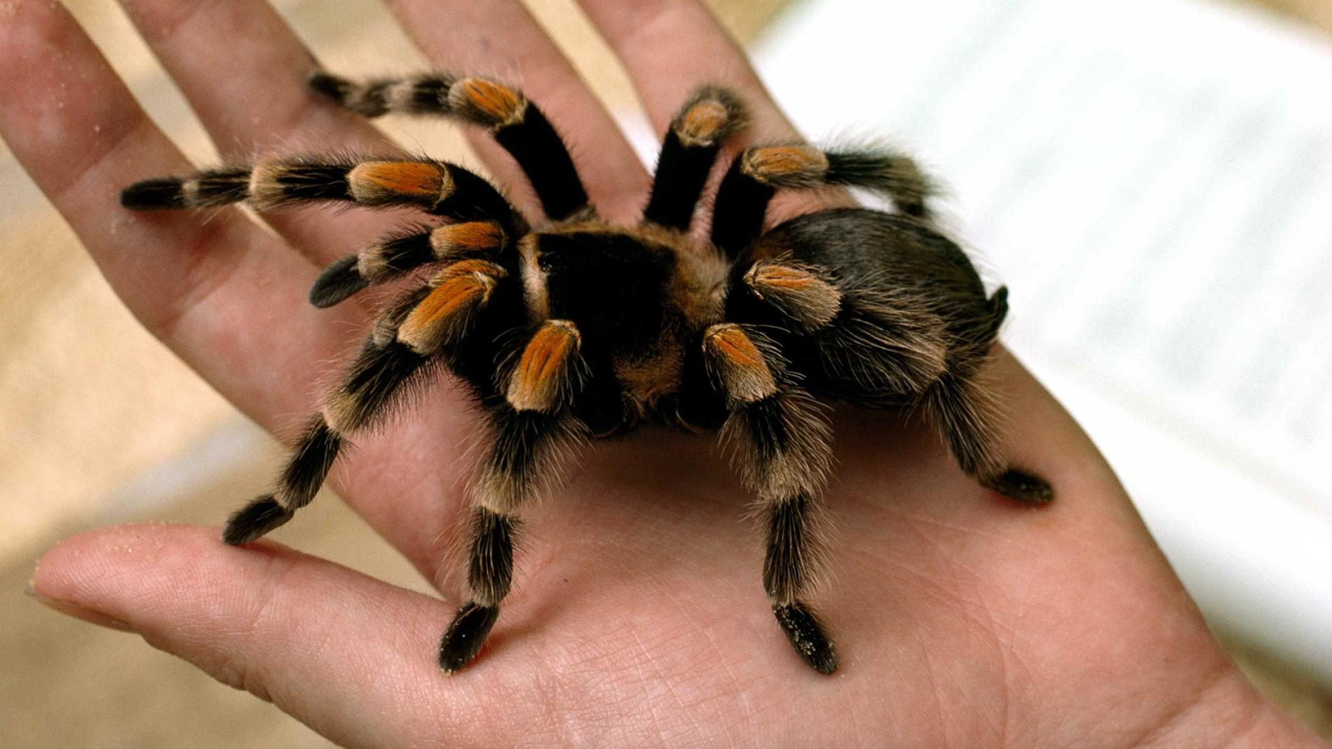 tarantula-closeup-hand.ngsversion.1396530853891.adapt.1900.1.jpg