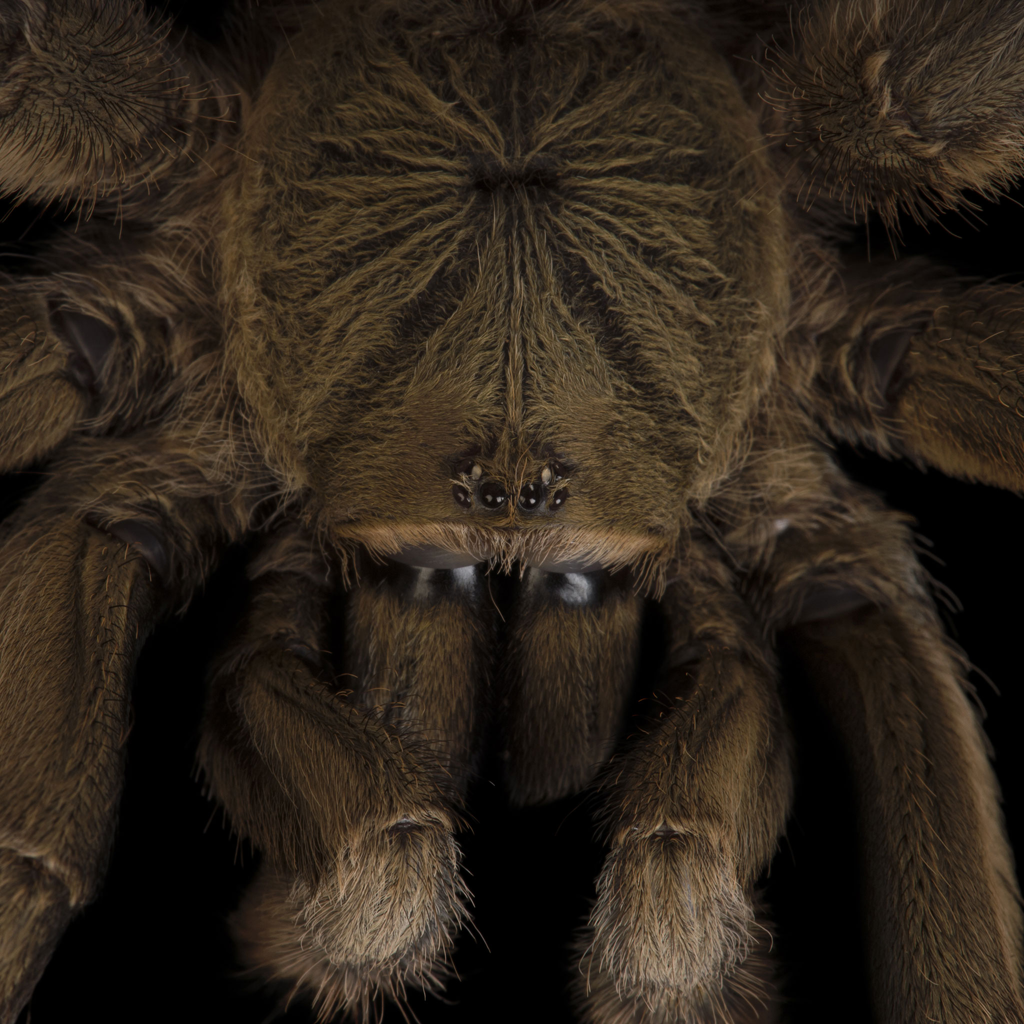 Tarantulas | National Geographic