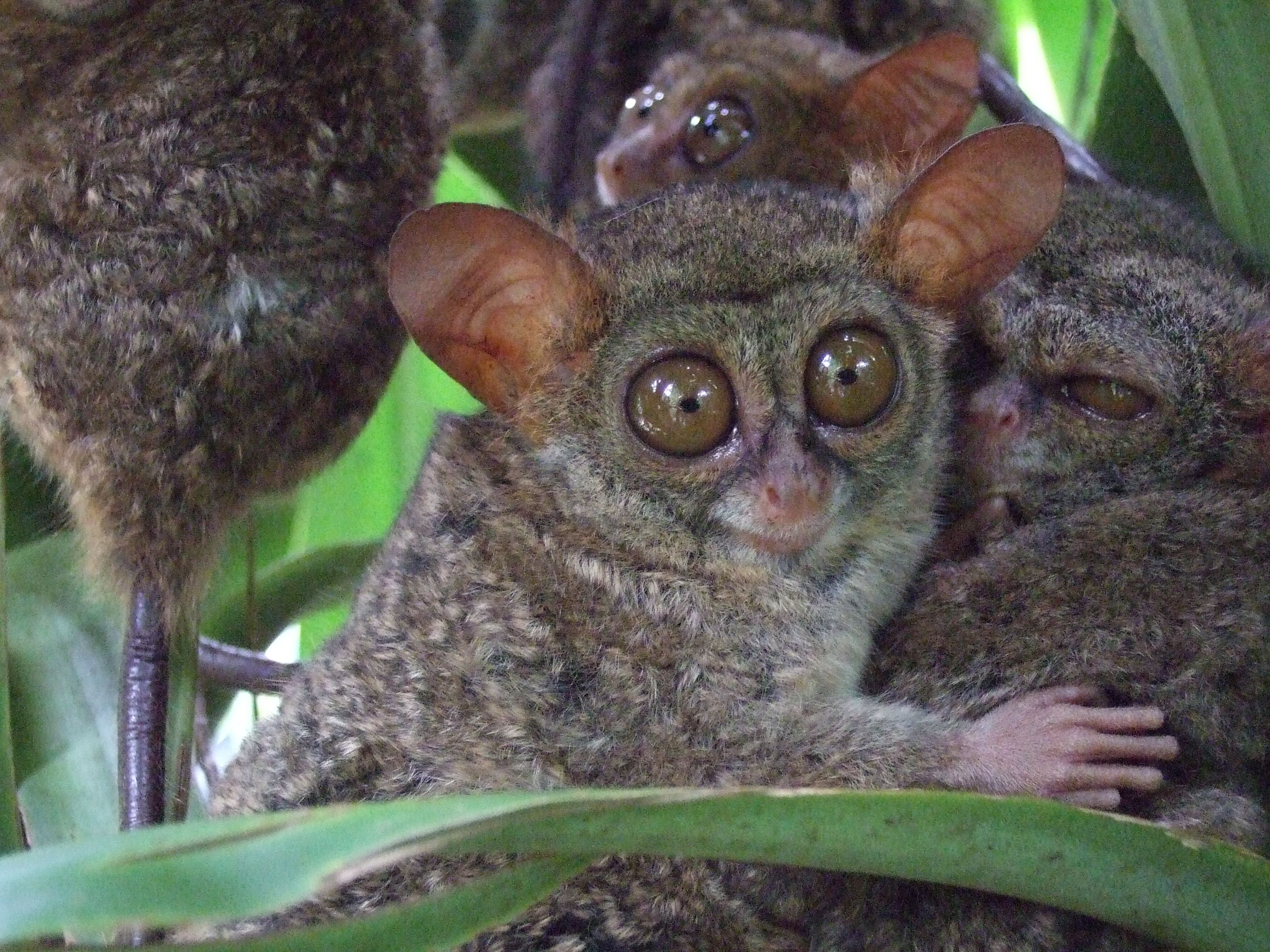 Tarsius smile photo