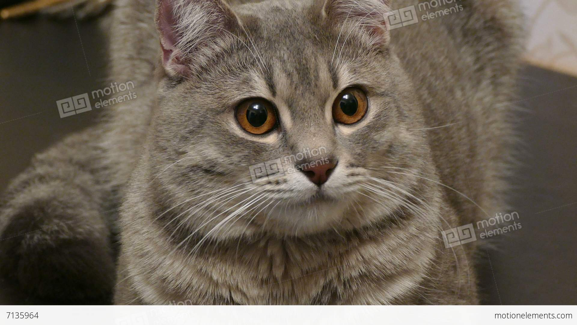 Gray Cat With Brown Eyes Staring At The Sides-4K Stock video footage ...
