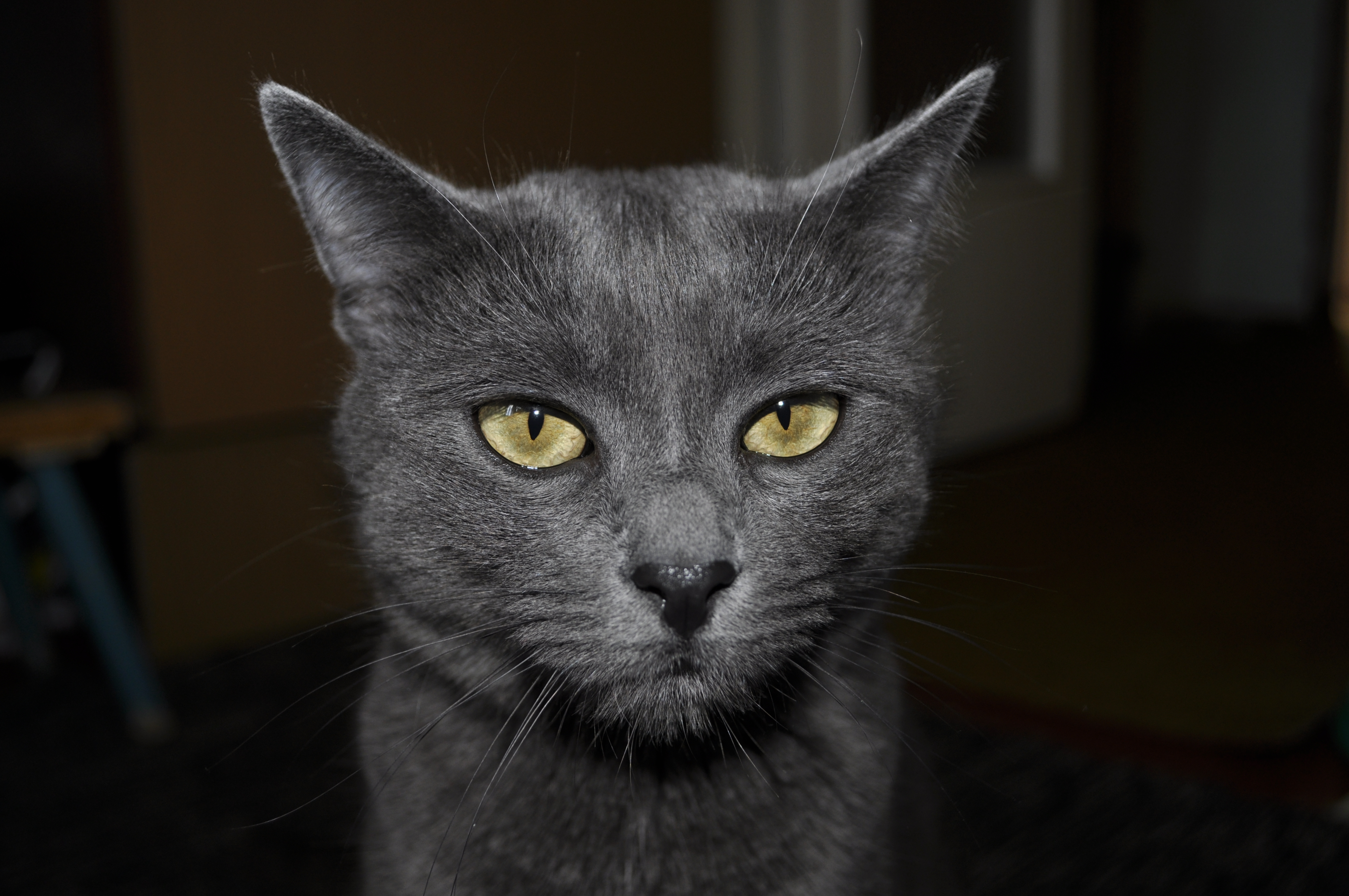 The gray Cat, Cat, Fur, Gray, Head, HQ Photo