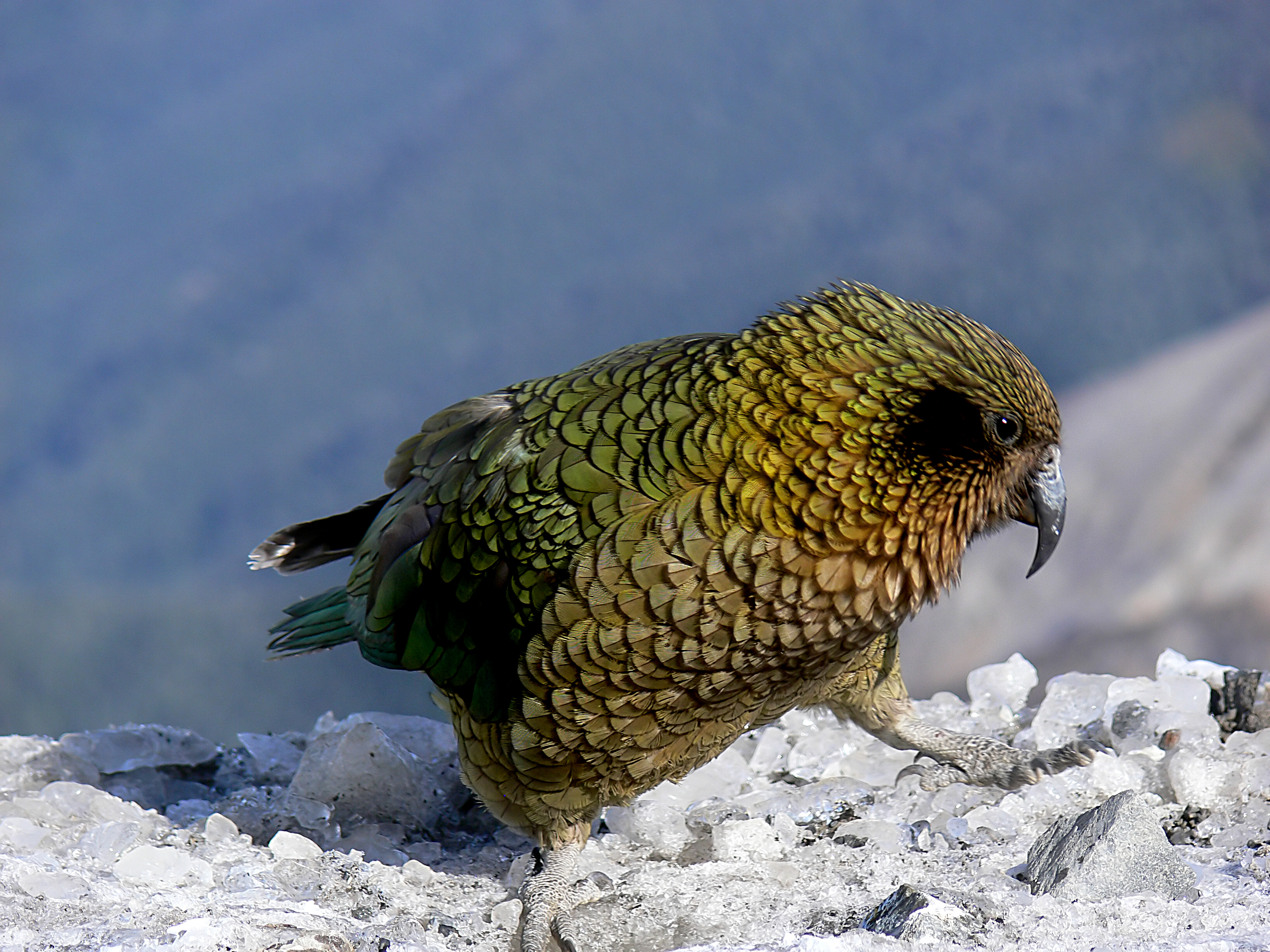 The kea (18) photo