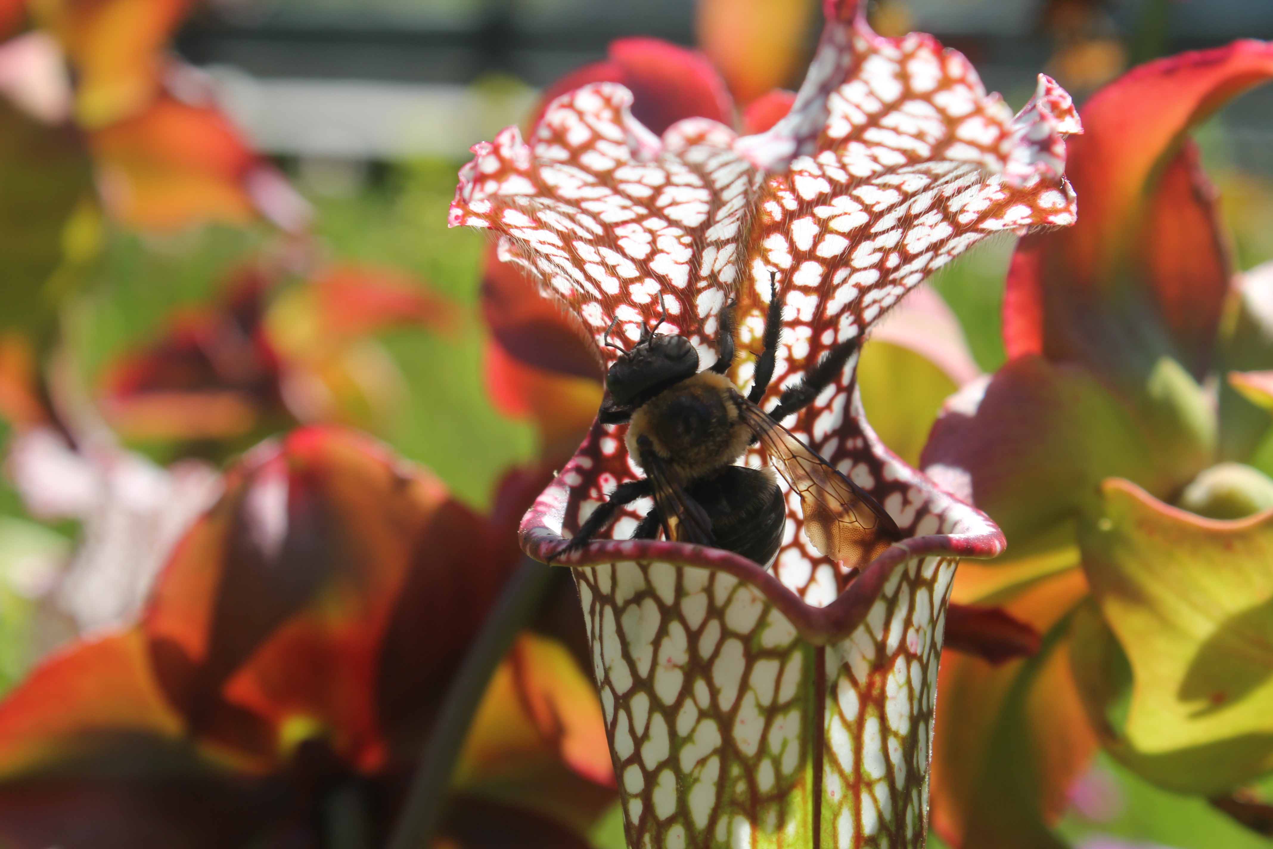 The Pitcher Plant and the Bee, Bee, North, Usa, Southeast, HQ Photo