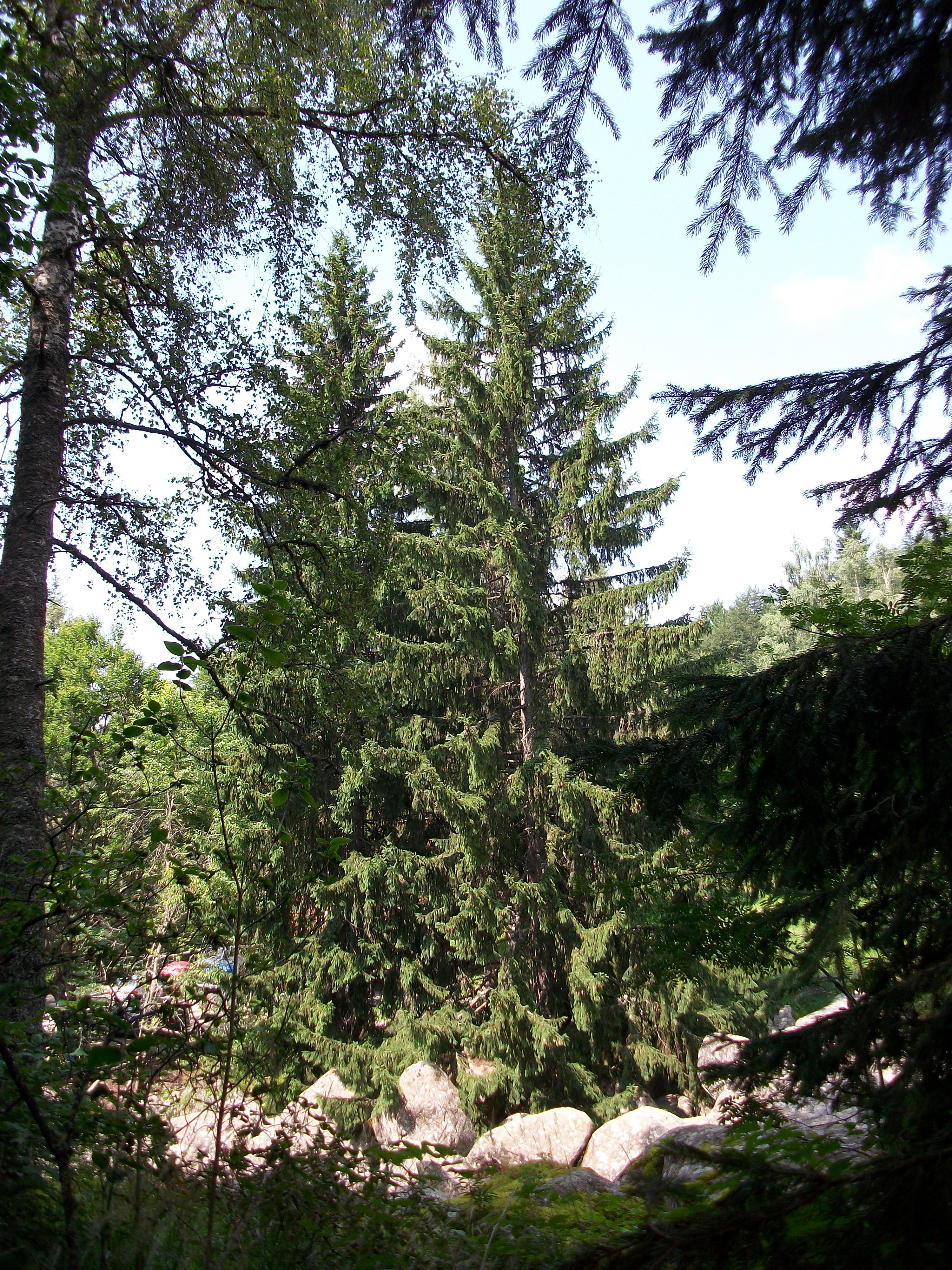 The Tree, Tree, Vitosha, Pine, Park, HQ Photo