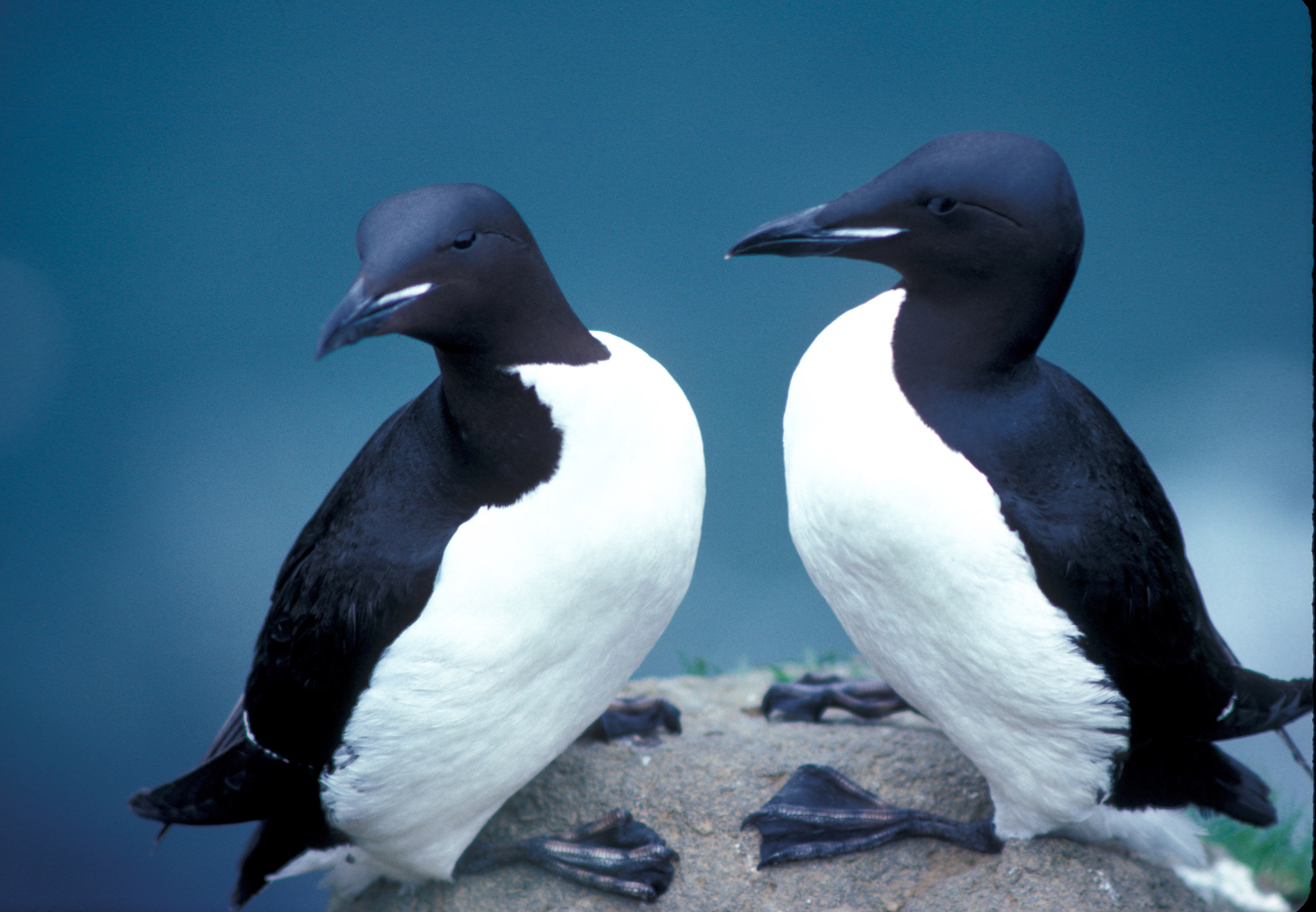 Thick billed murres photo