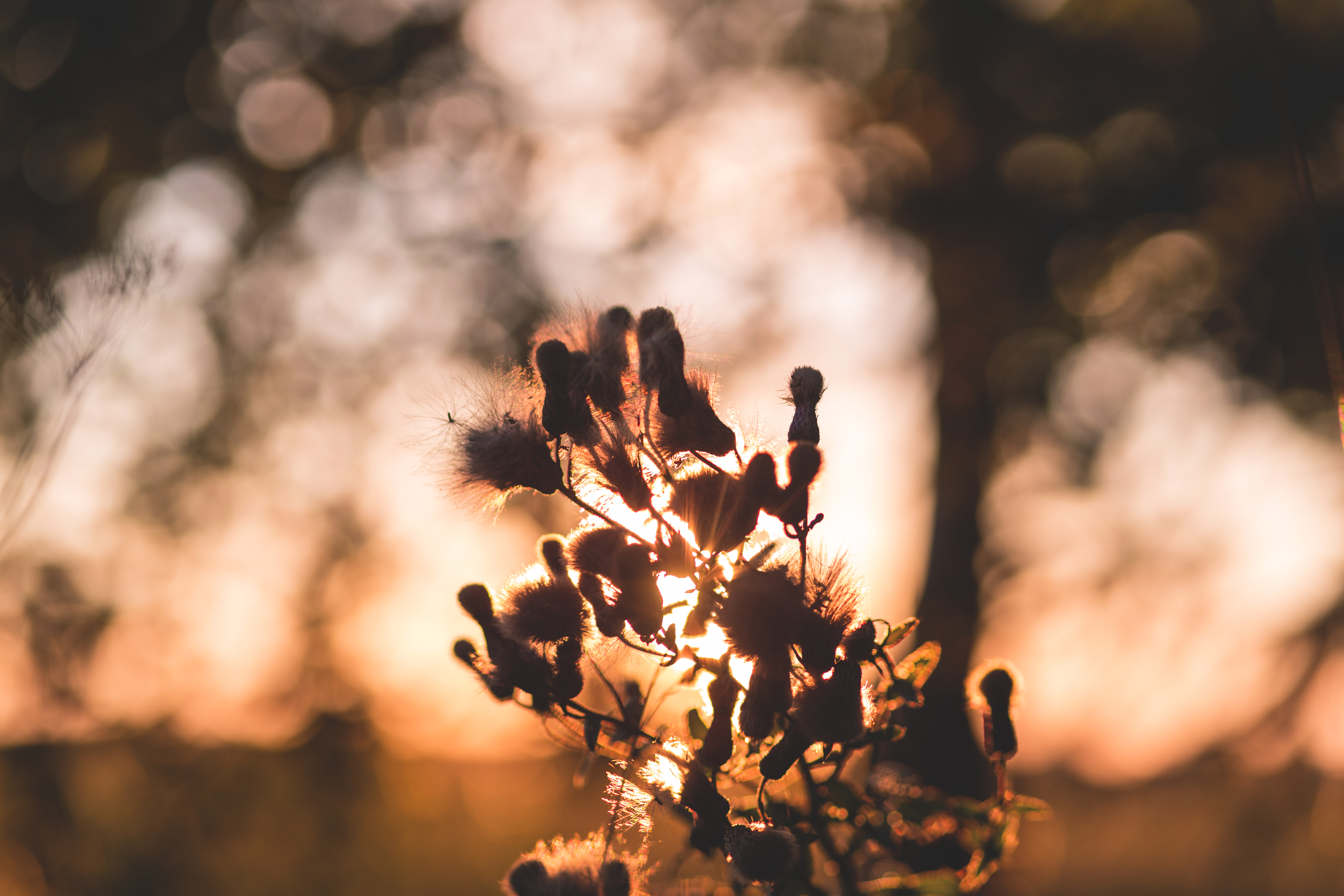 Thistle in sunset light, Background, Summer, Wild, Weeds, HQ Photo