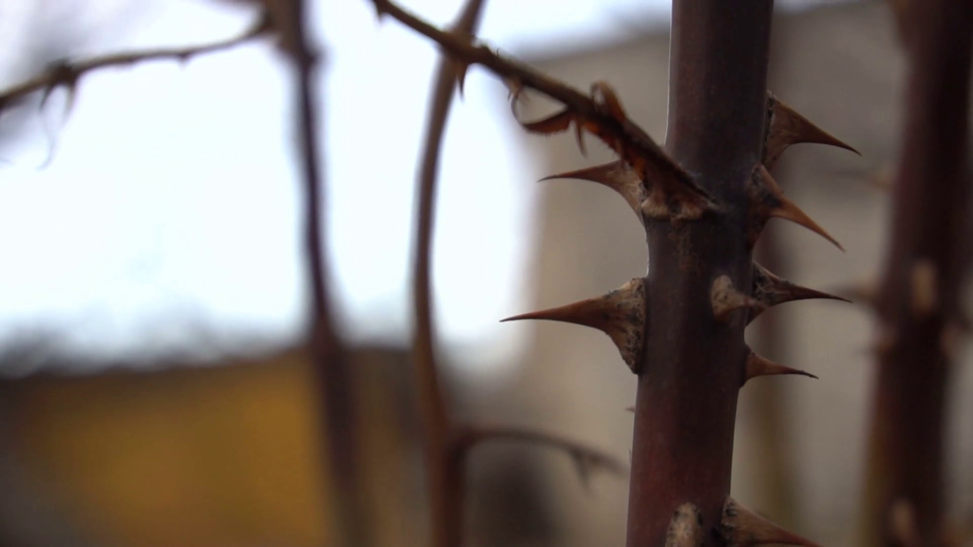 Dry rose bush. Thorns close-up Stock Video Footage - Videoblocks