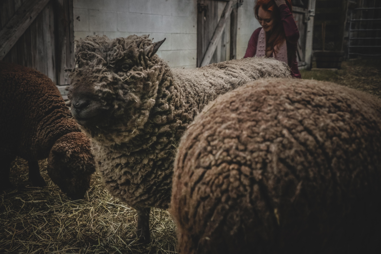 Three sheep in barn photo