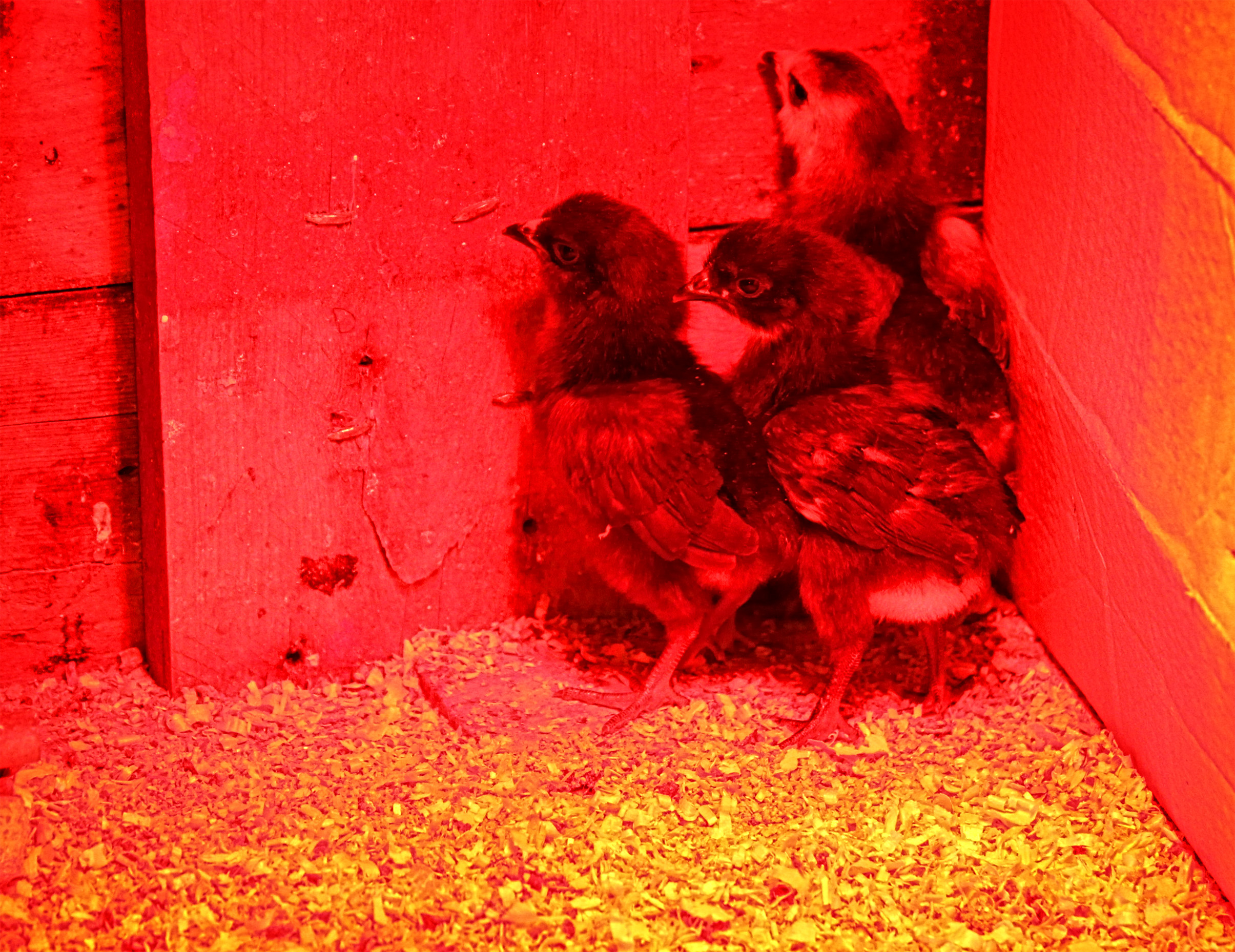 Three young chicks at the nursery - in the farm series photo