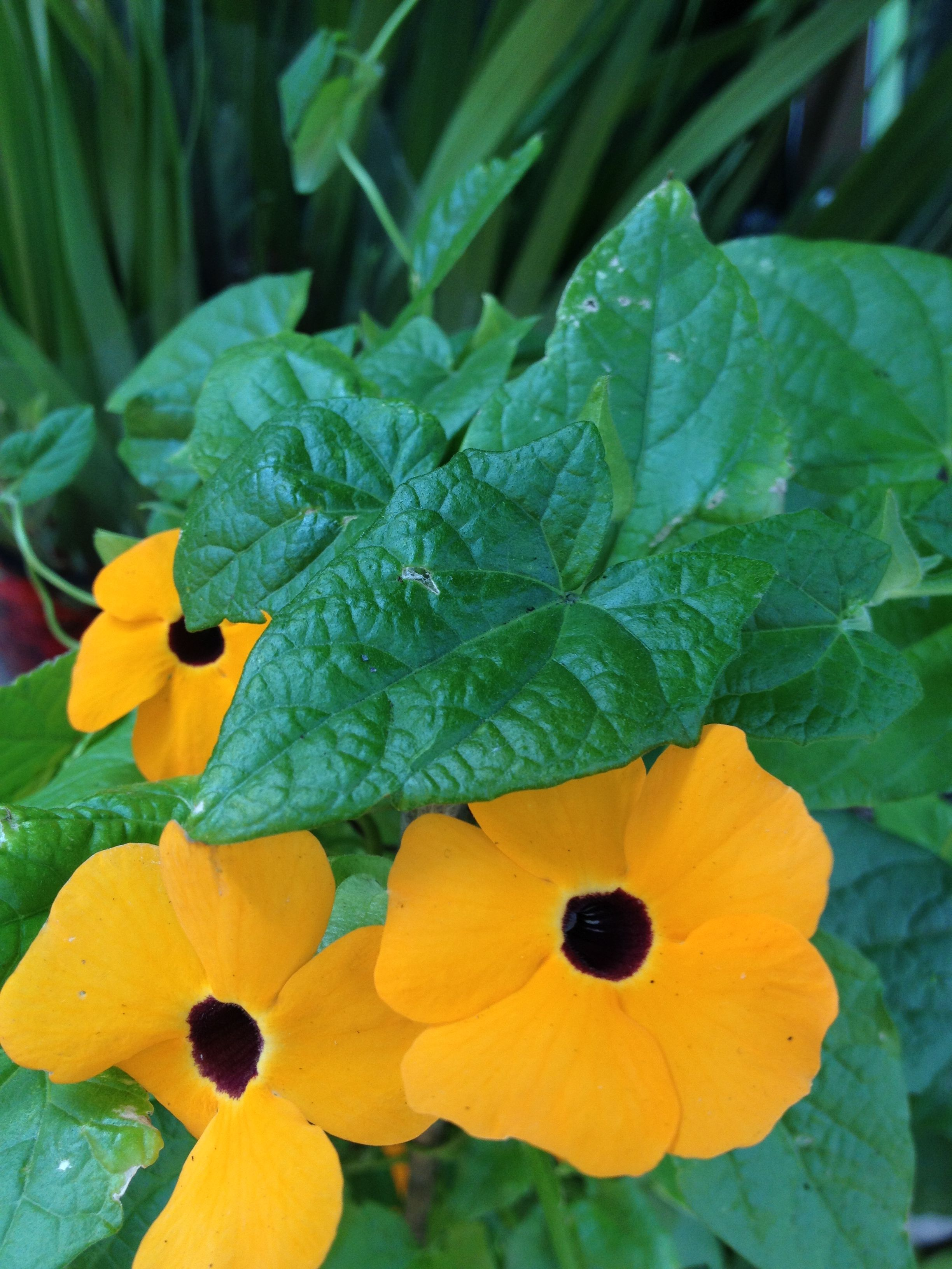 Black eyed Susan' Thunbergia alata | Plants | Pinterest | Black eyed ...