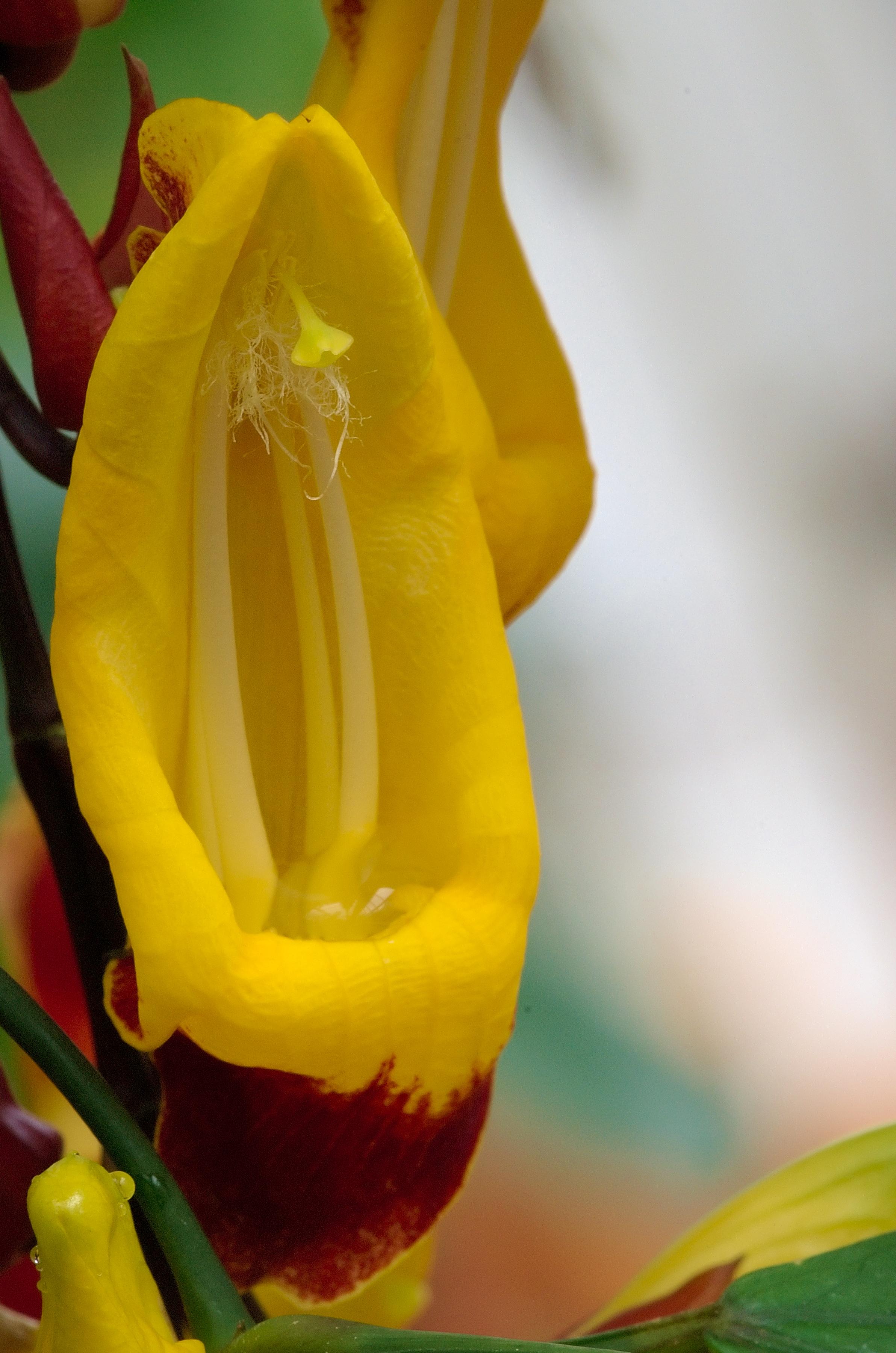 File:Thunbergia Mysorensis Luc Viatour.jpg - Wikimedia Commons